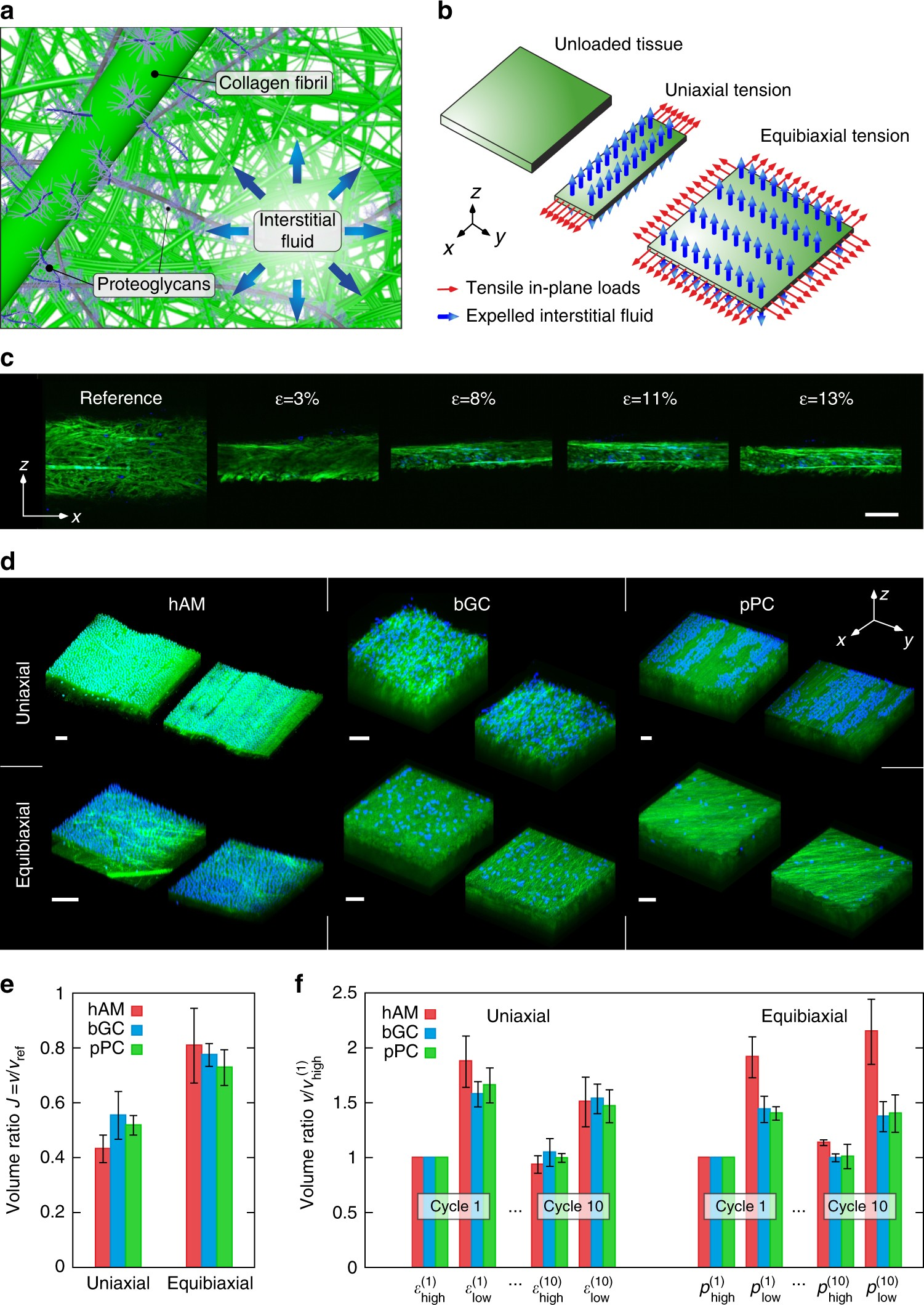 Inverse poroelasticity as a fundamental mechanism in biomechanics