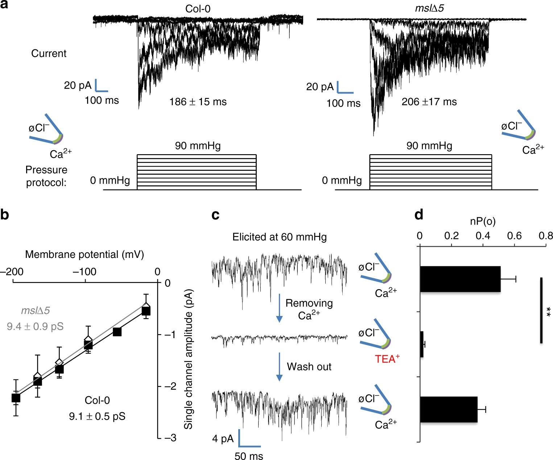 A Mechanosensitive Ca 2 Channel Activity Is Dependent On The Back Gt Images For Bean Germination Diagram Developmental Regulator Dek1 Nature Communications