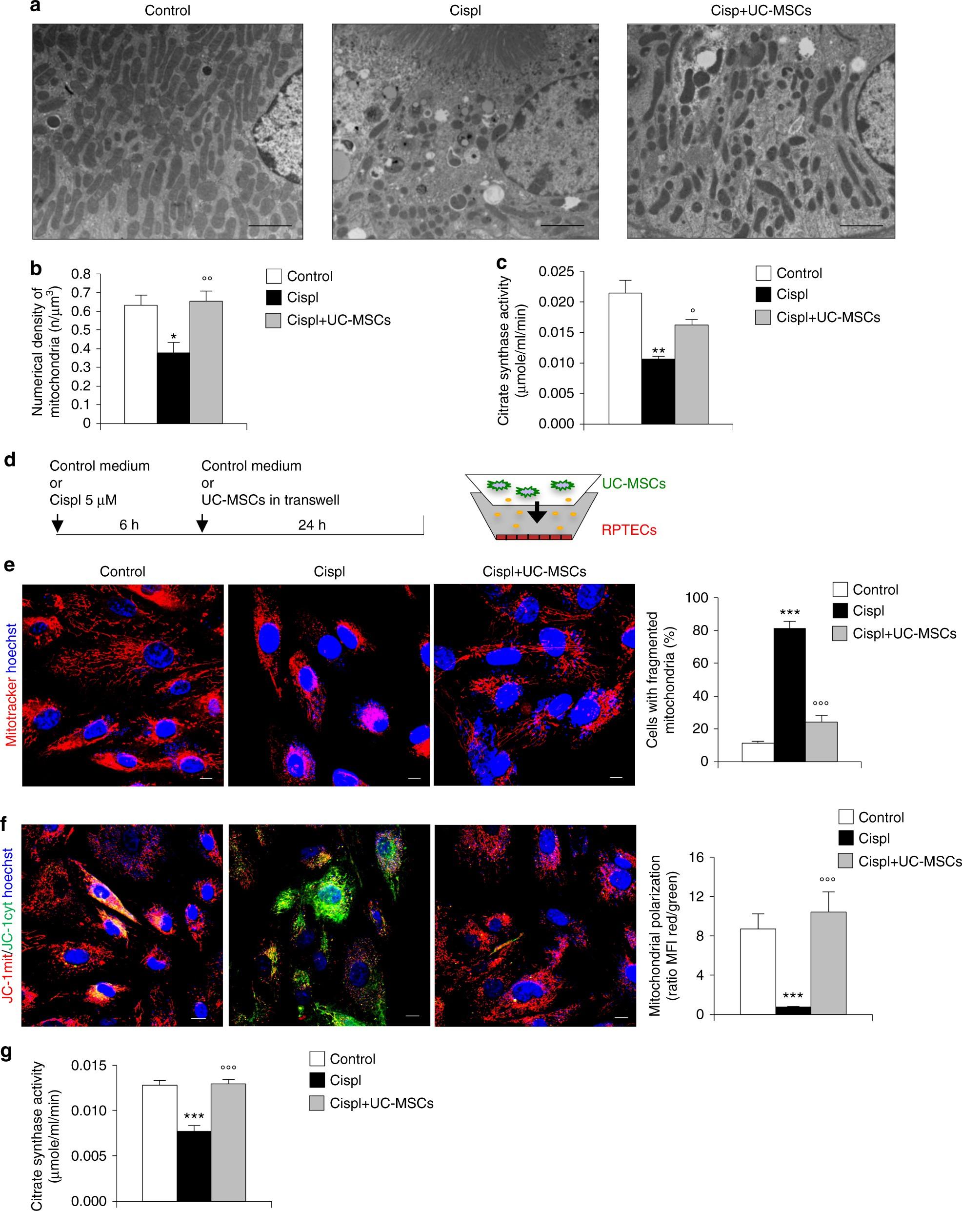 Human mesenchymal stromal cells transplanted into mice