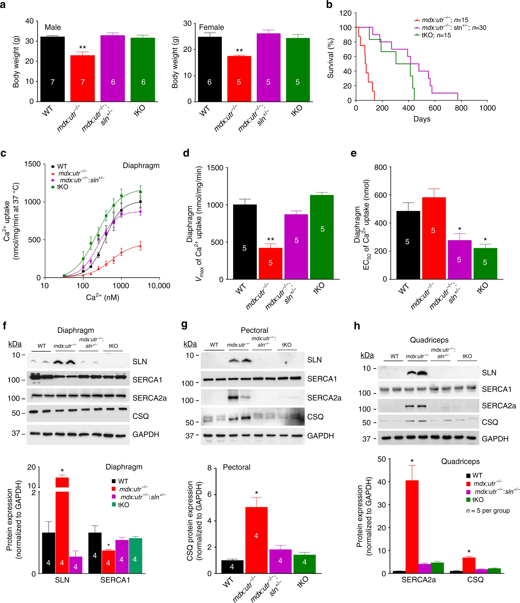 Reducing sarcolipin expression mitigates Duchenne muscular dystrophy and  associated cardiomyopathy in mice   Nature Communications