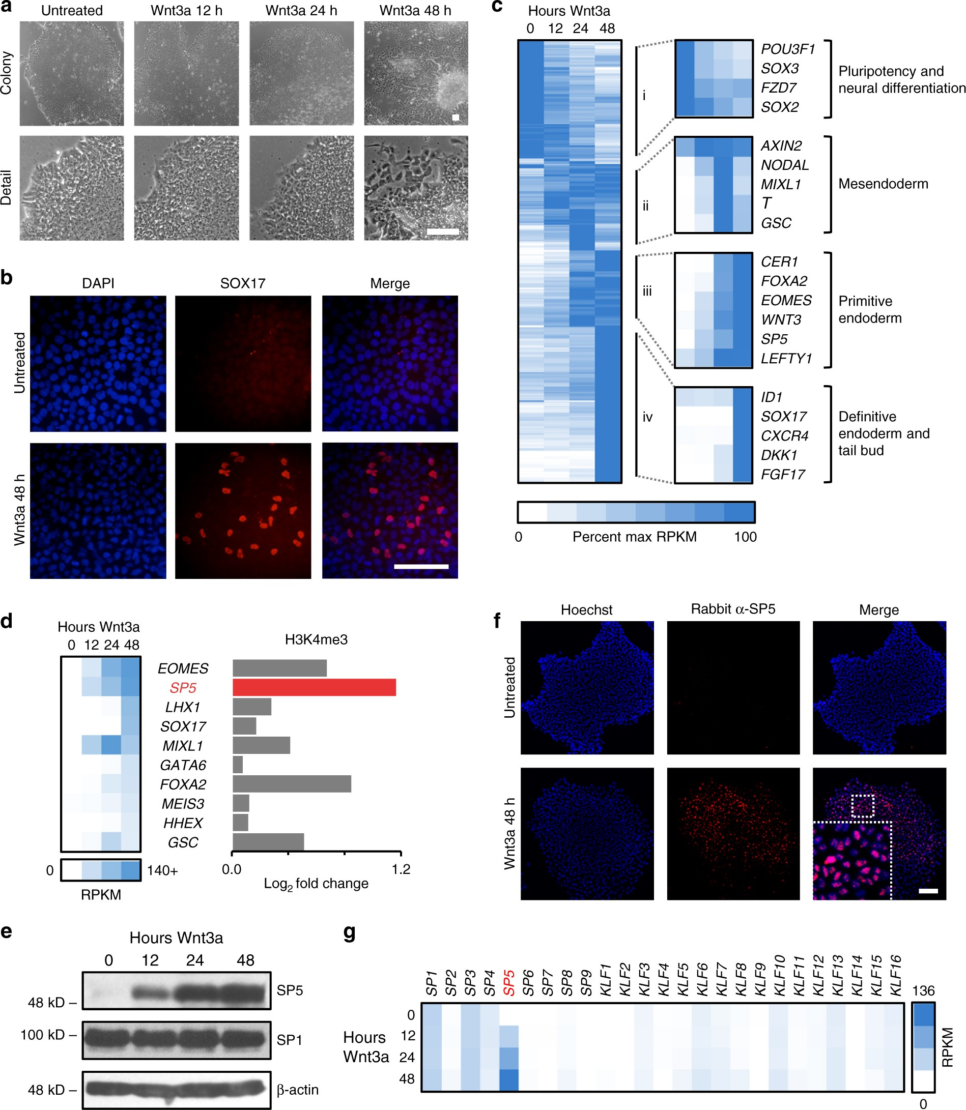 4f5afd97b5447d The WNT target SP5 negatively regulates WNT transcriptional programs in  human pluripotent stem cells | Nature Communications