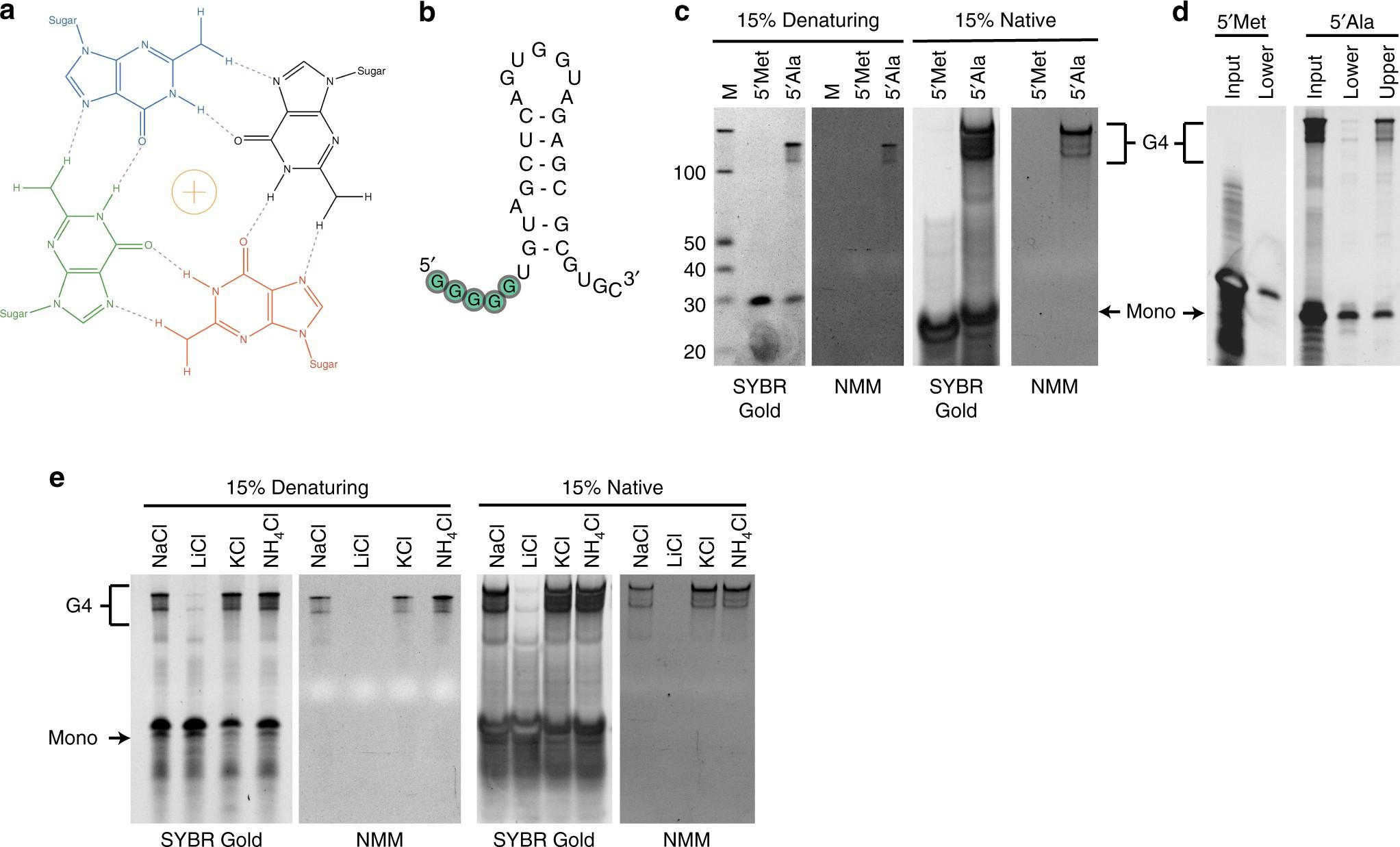 Identification of functional tetramolecular RNA G
