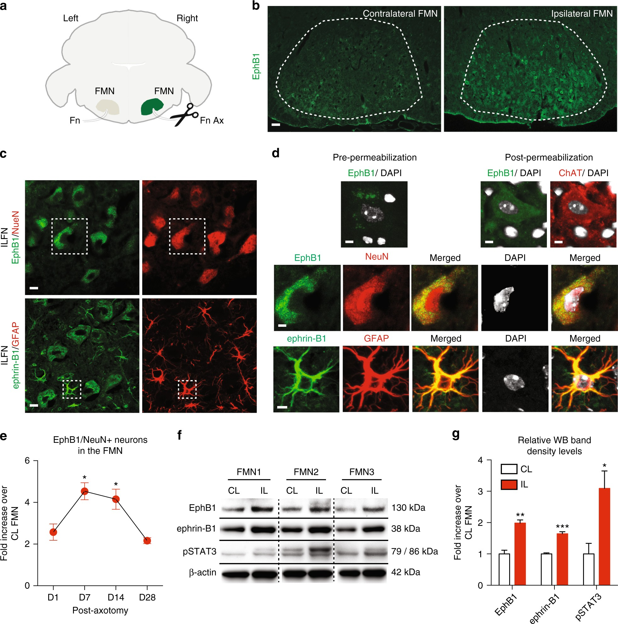 A neuroprotective astrocyte state is induced by neuronal