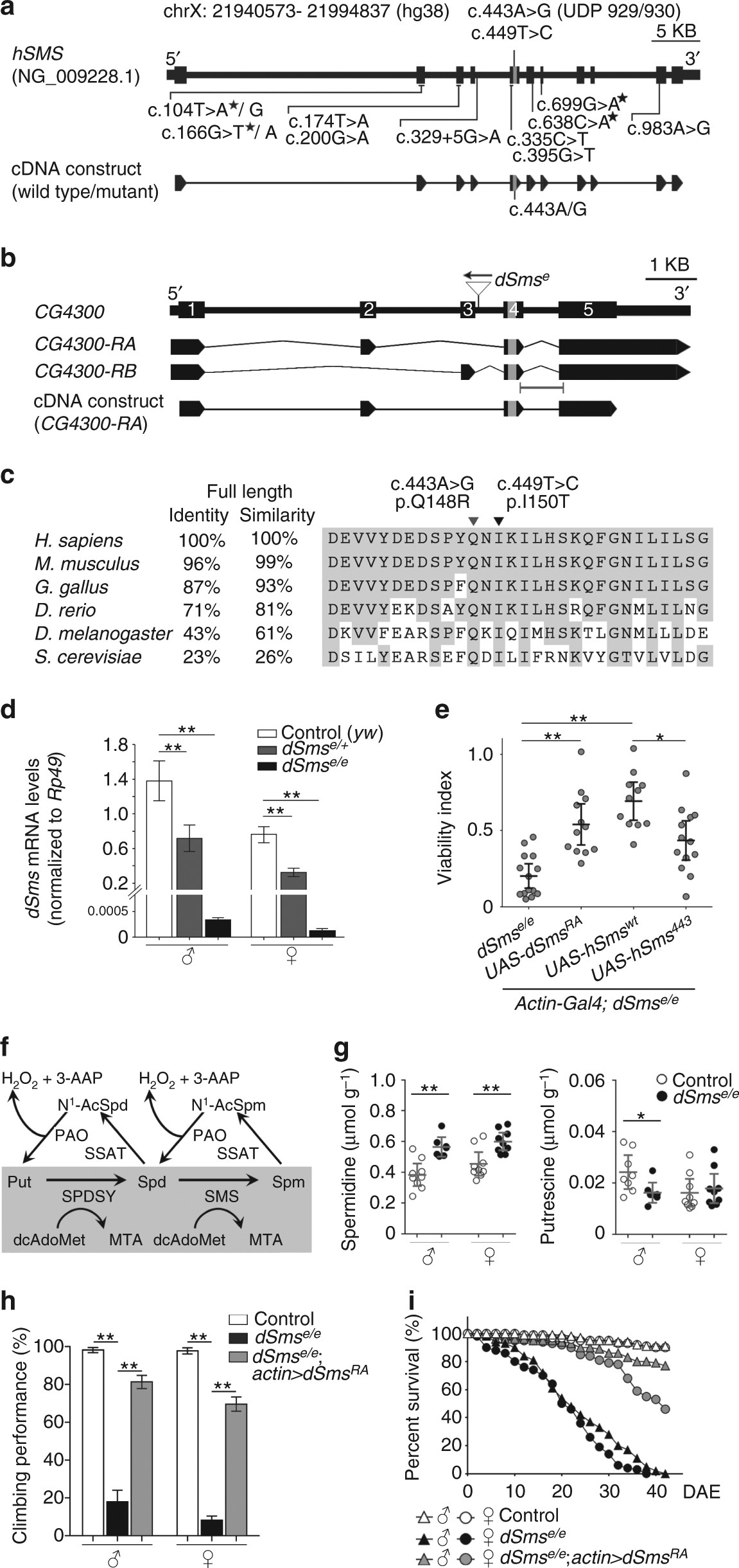 Spermine Synthase Deficiency Causes Lysosomal Dysfunction And