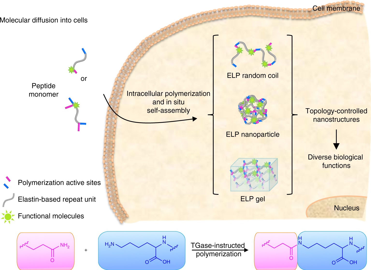 Intracellular Construction Of Topology Controlled Polypeptide Molecular Self Assembly In Nanotechnology Nanostructures With Diverse Biological Functions Nature Communications