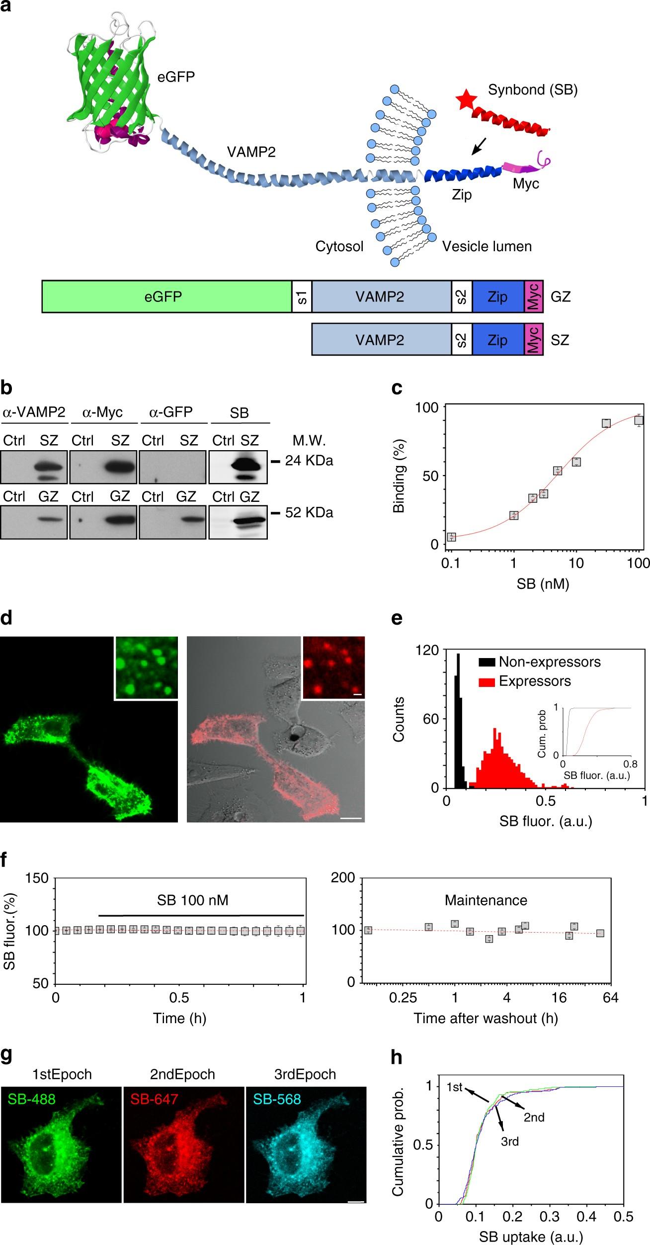 neuronal activation marker