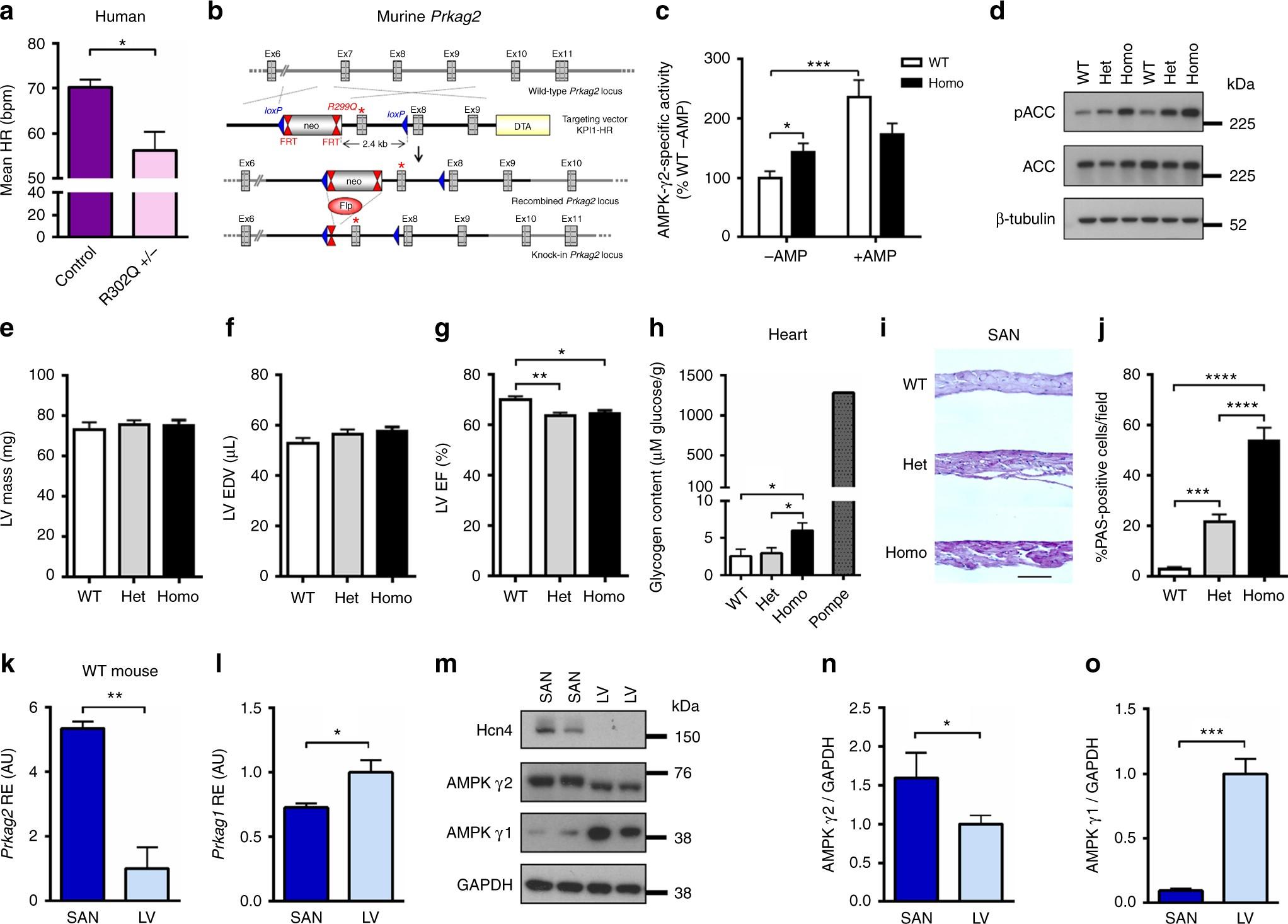 Mammalian γ2 AMPK regulates intrinsic heart rate | Nature