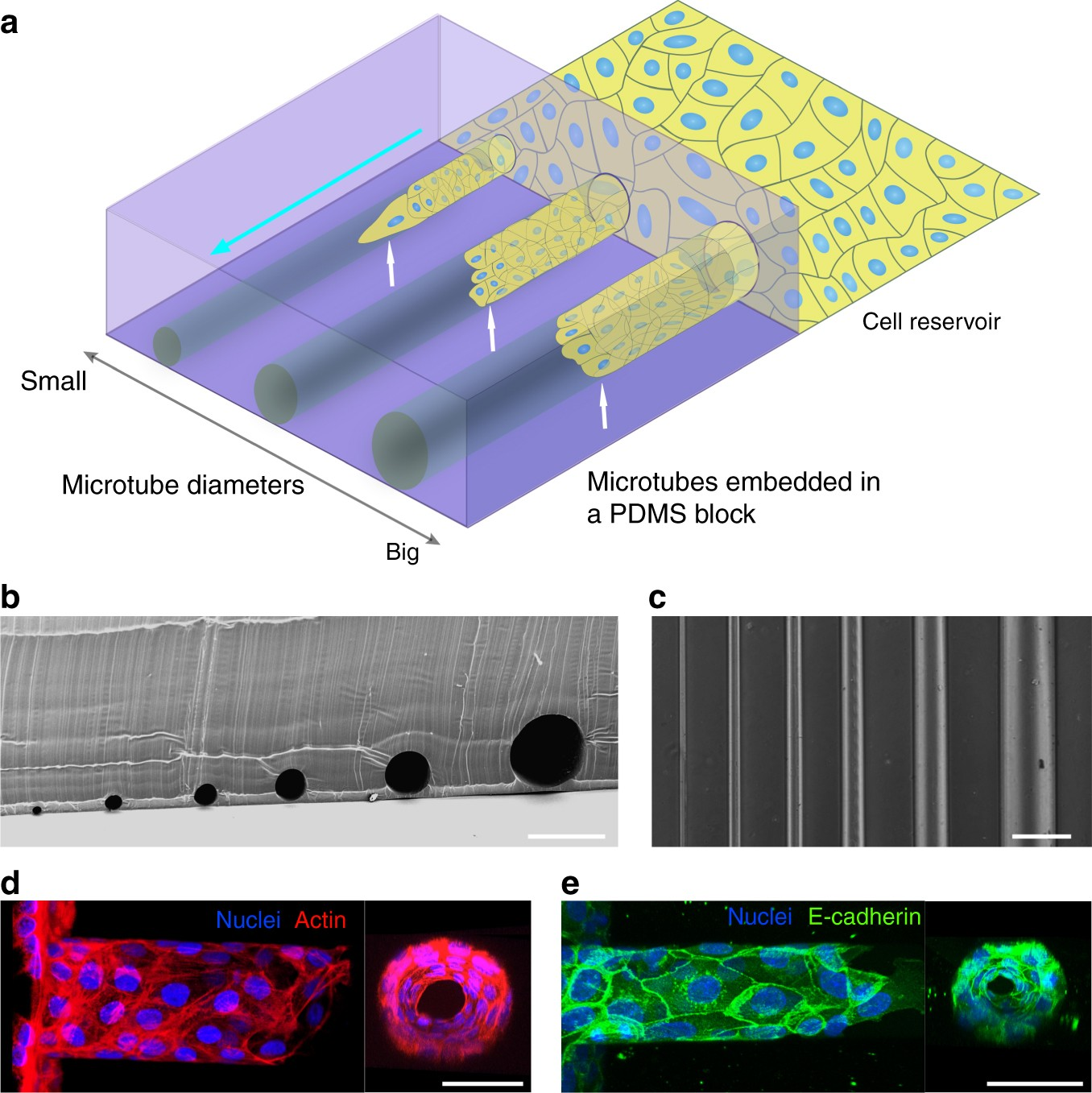 Emergent Patterns Of Collective Cell Migration Under Tubular Diagram Moreover Dip Switch Settings In Addition Cat 5 Crossover Cable Confinement Nature Communications
