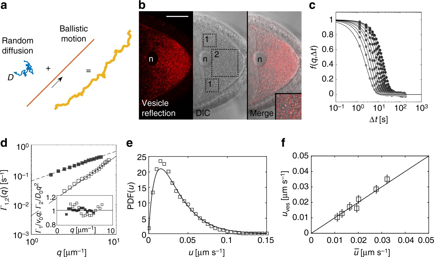 Active diffusion and advection in Drosophila oocytes result