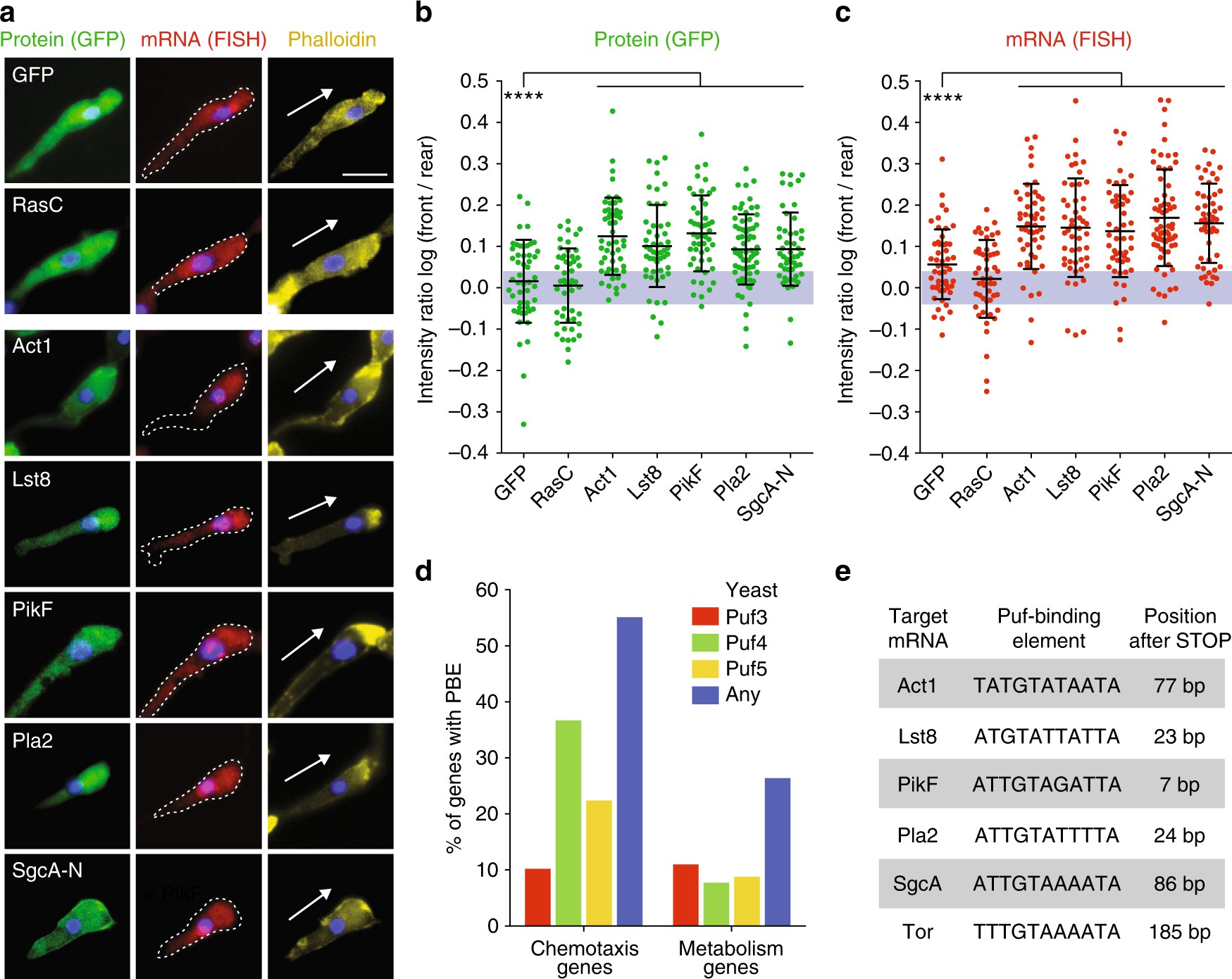 Pumilio dependent localization of mRNAs at the cell front
