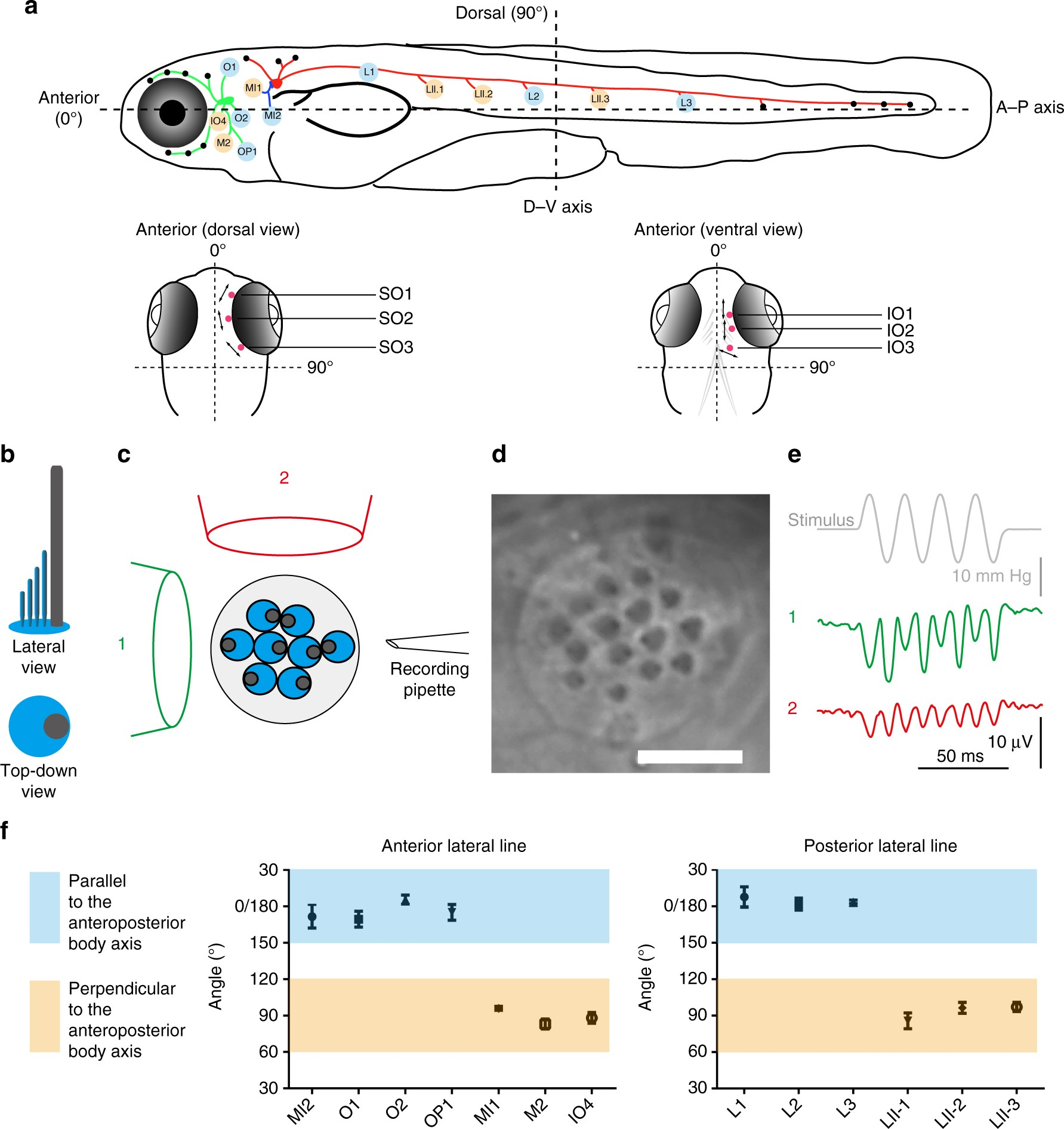A Molecular Basis For Water Motion Detection By The Mechanosensory Live Line Detector Indicator Circuit Schematic Lateral Of Zebrafish Nature Communications