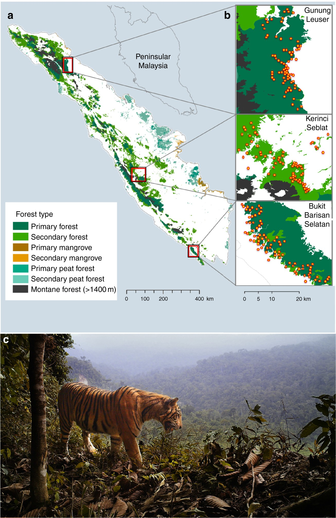 Sumatran Tiger Survival Threatened By Deforestation Despite