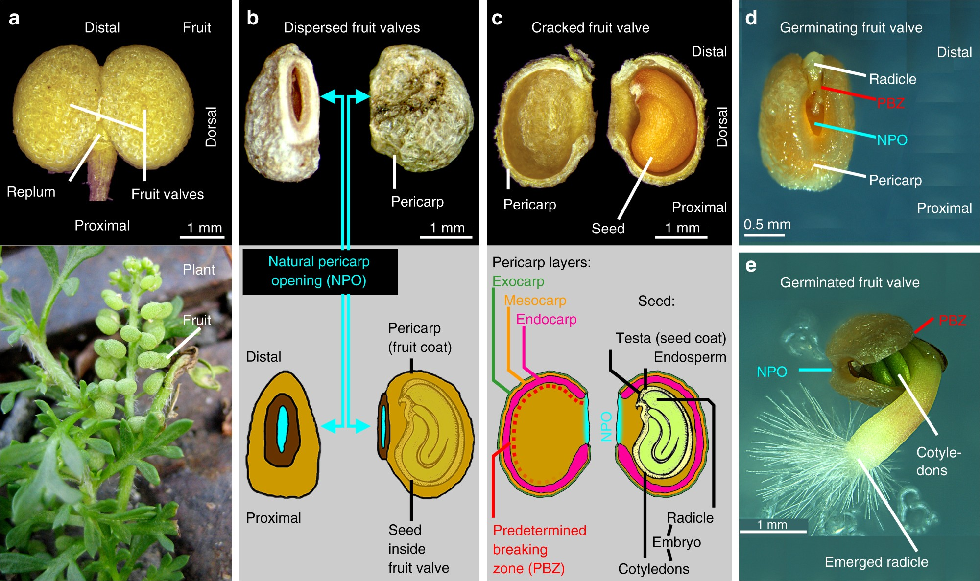 Fruit Fracture Biomechanics And The Release Of Lepidium Didymum Here Is A Diagram Monocot Seed Its Typical Germination Pericarp Imposed Mechanical Dormancy By Fungi Nature Communications
