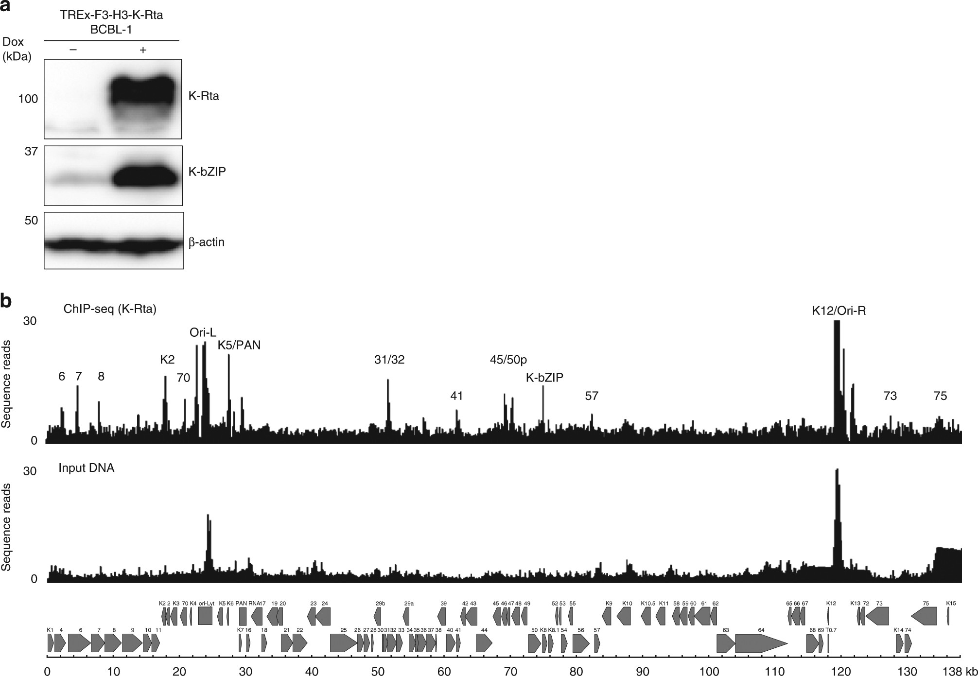 KSHV episomes reveal dynamic chromatin loop formation with