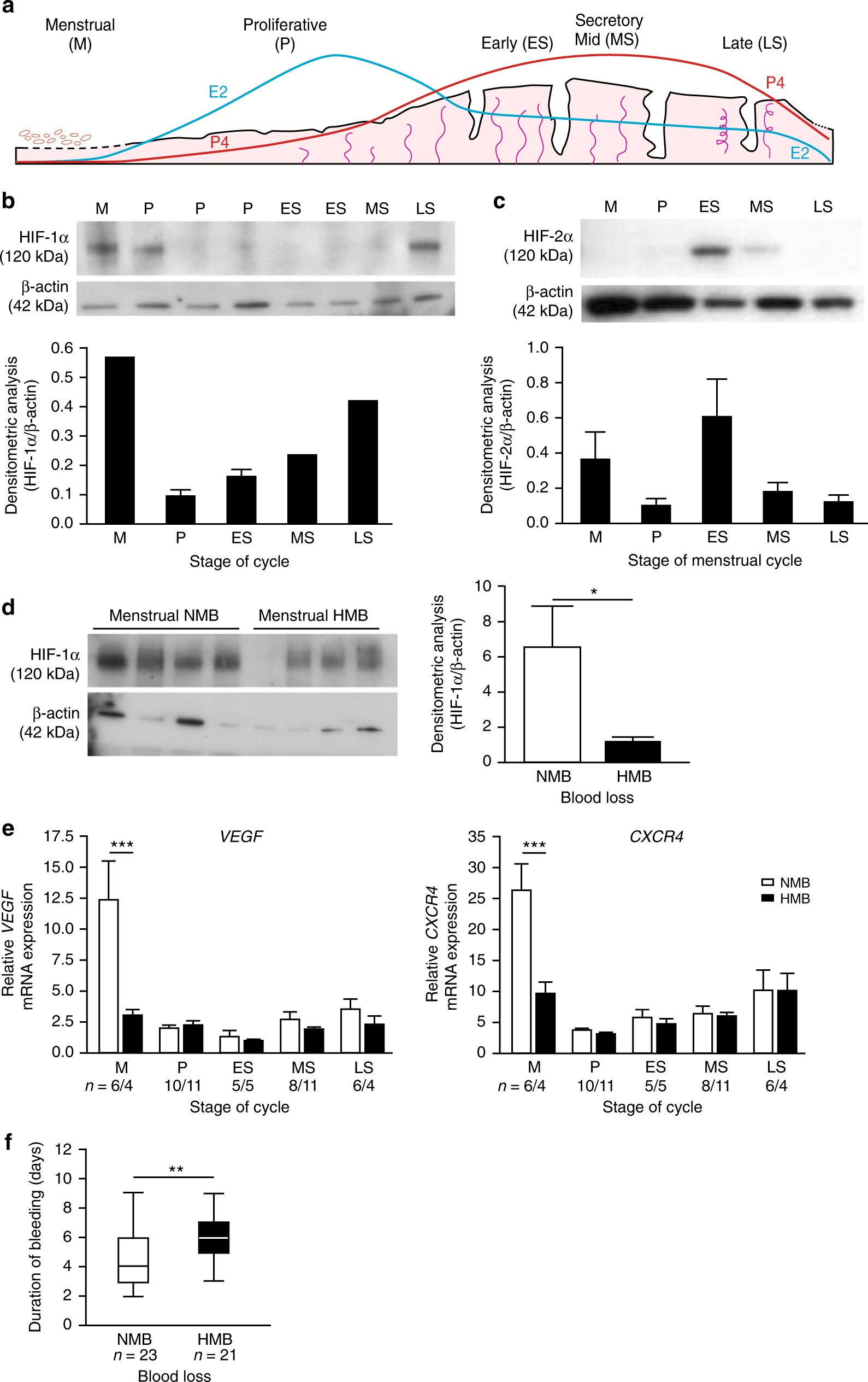 Hypoxia and hypoxia inducible factor-1α are required for