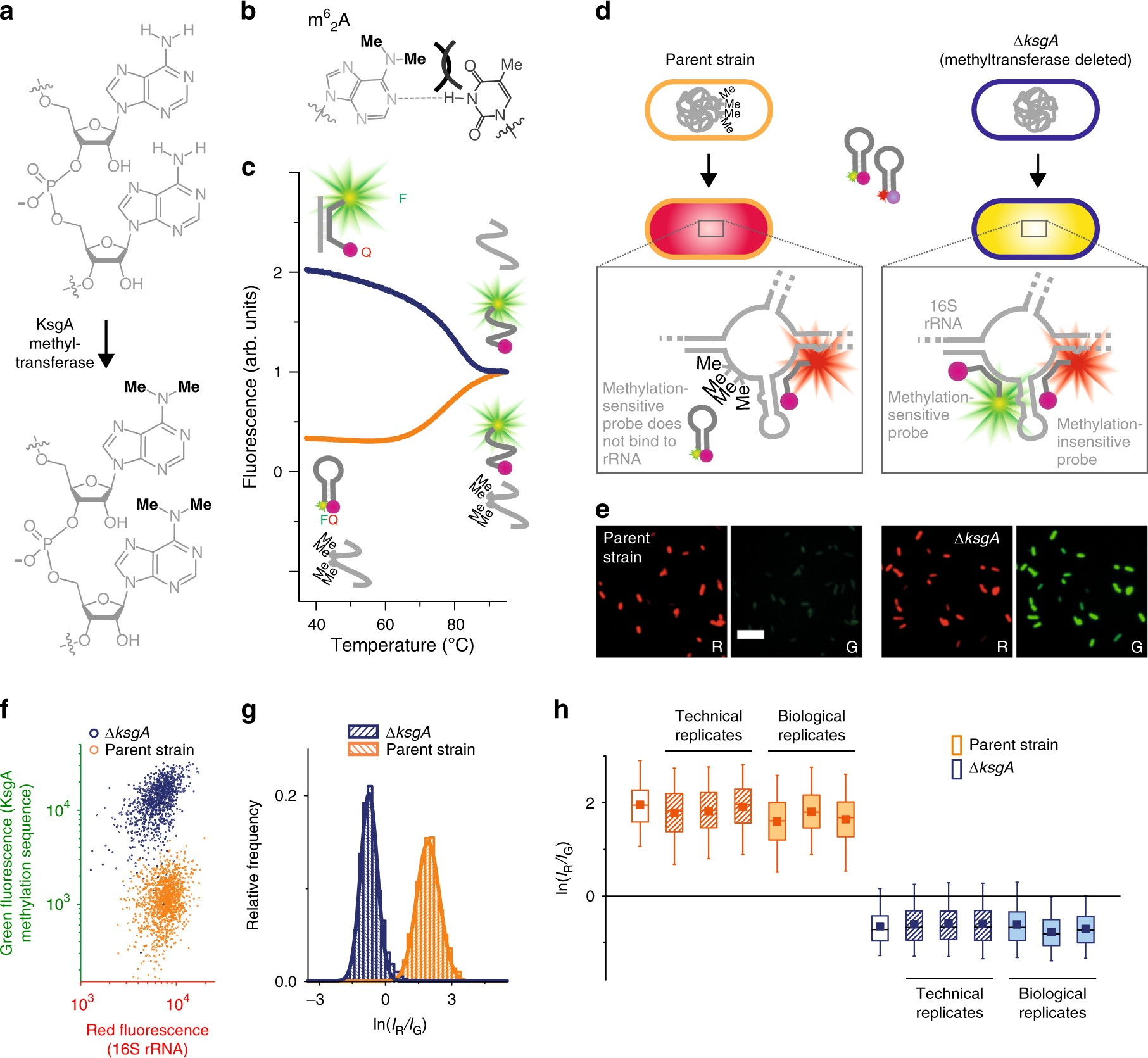 Detecting RNA base methylations in single cells by in situ