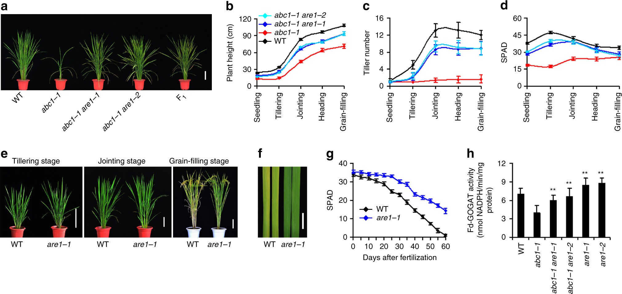 Genetic Variations In Are1 Mediate Grain Yield By Modulating Pure Green Organic Rice Long 1 Kg Nitrogen Utilization Nature Communications
