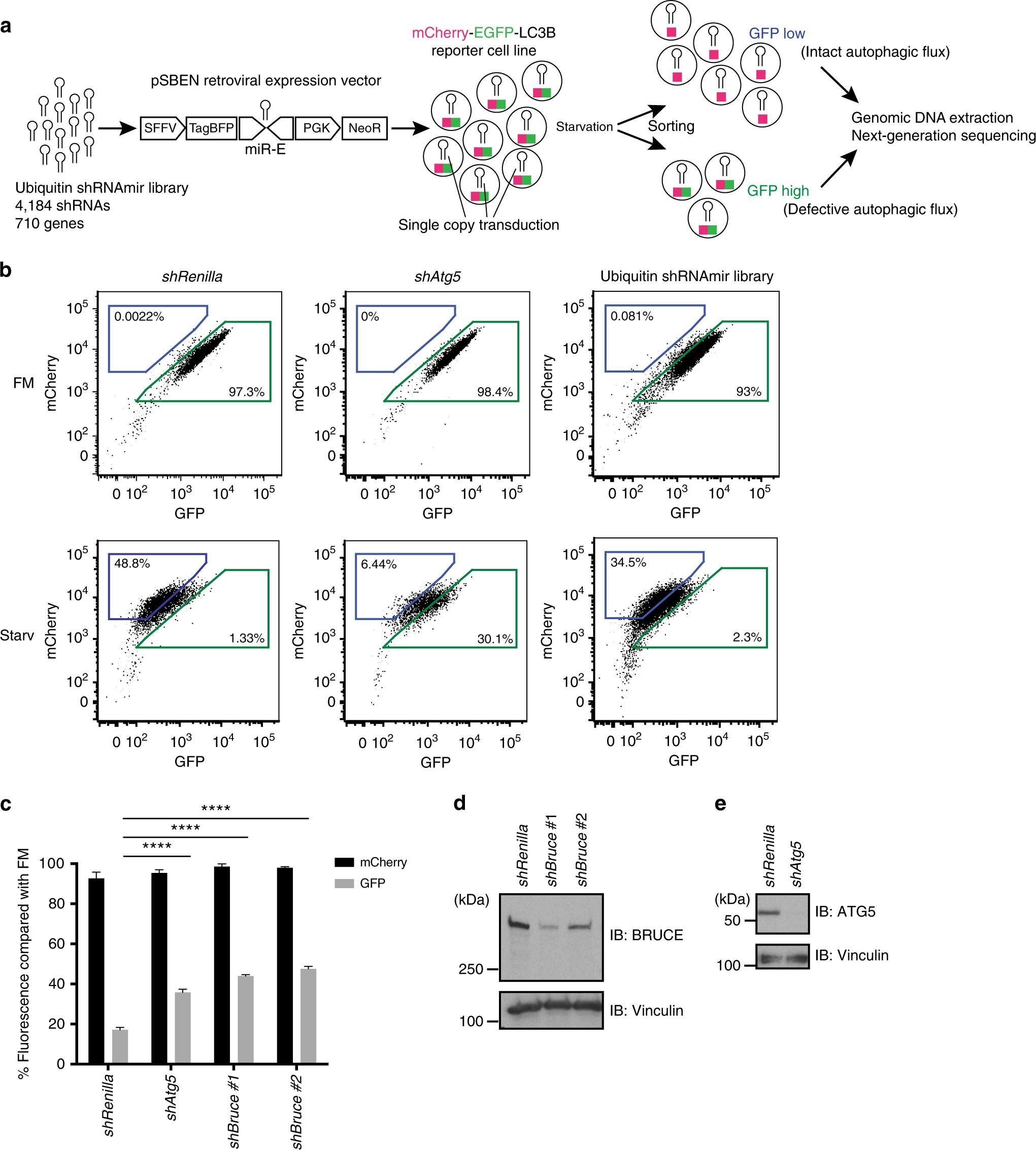 The IAP family member BRUCE regulates autophagosome–lysosome fusion