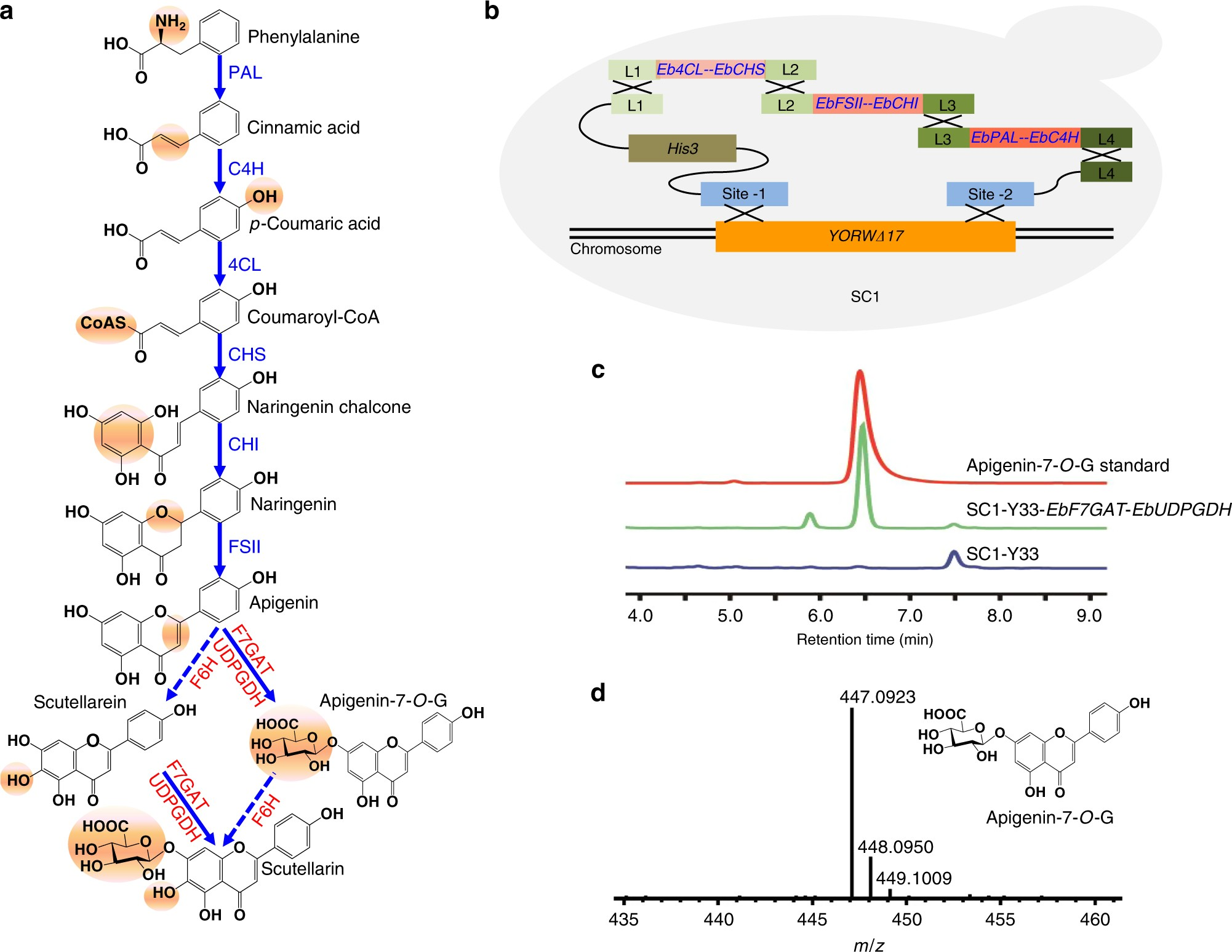 Engineering yeast for the production of breviscapine by genomic