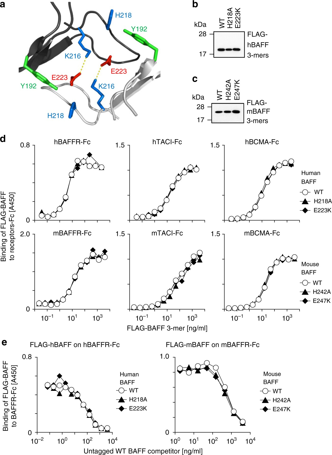 1c77842604 A loop region of BAFF controls B cell survival and regulates recognition by  different inhibitors