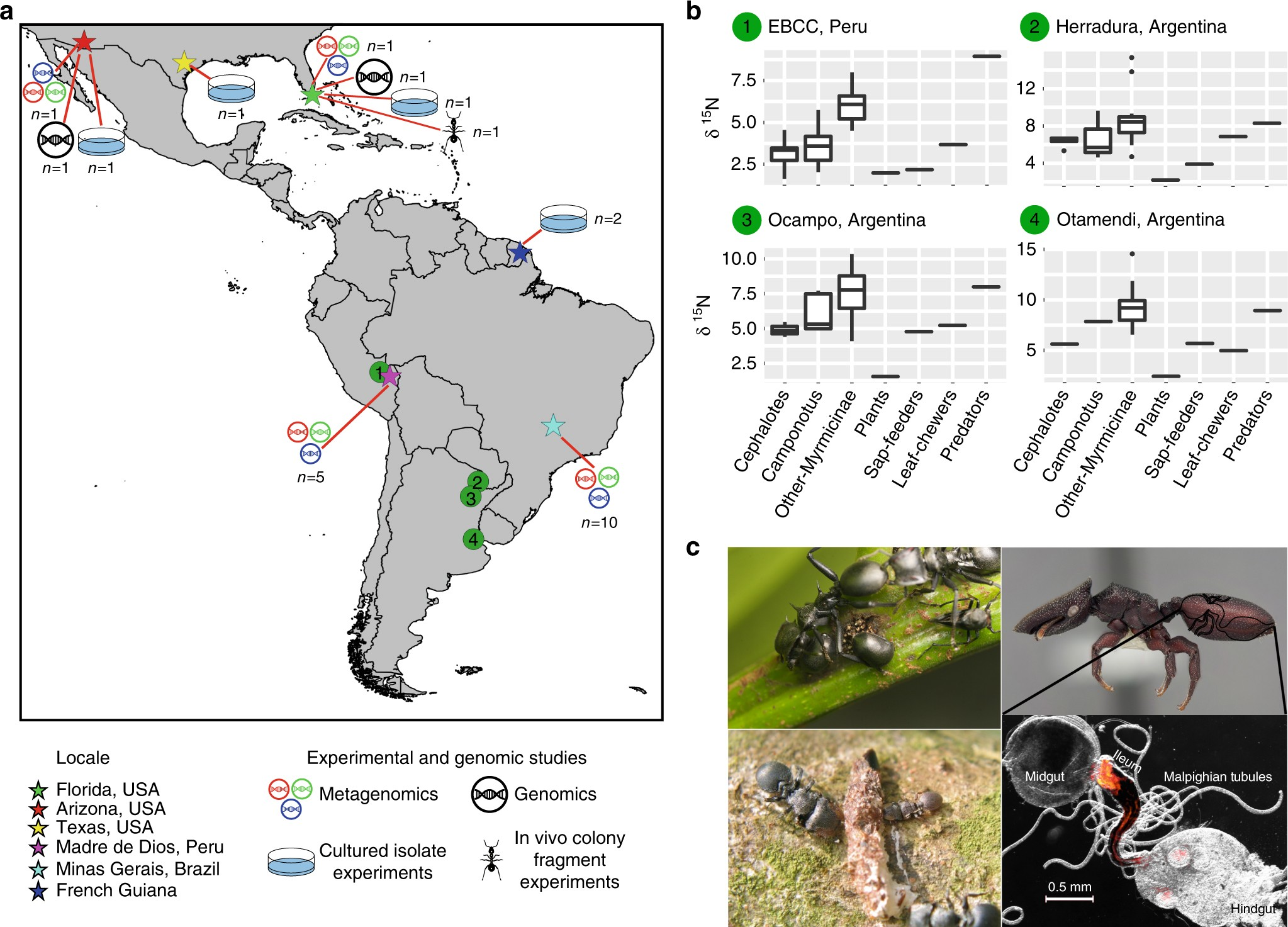 Herbivorous Turtle Ants Obtain Essential Nutrients From A Conserved