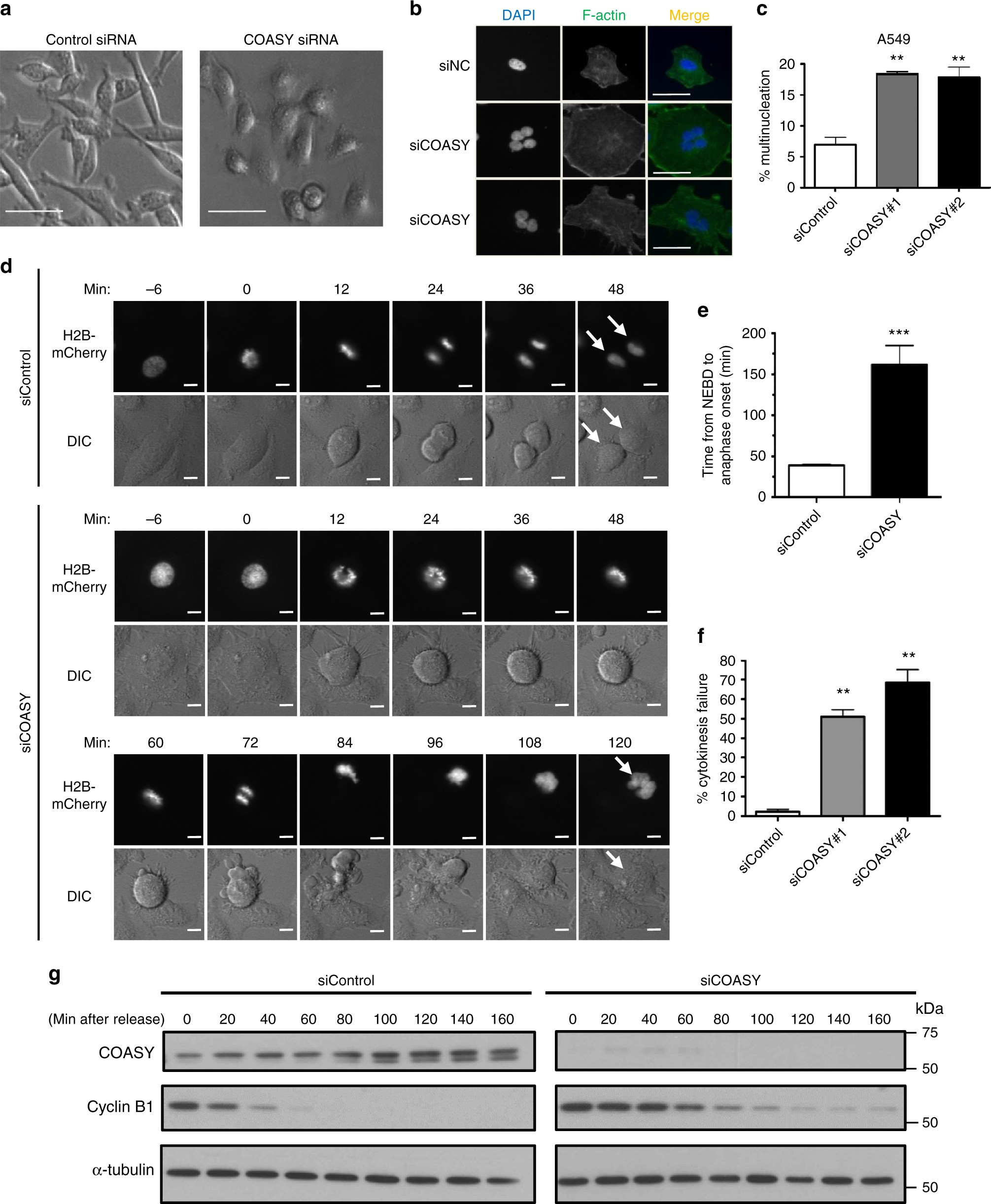 CoA synthase regulates mitotic fidelity via CBP-mediated acetylation