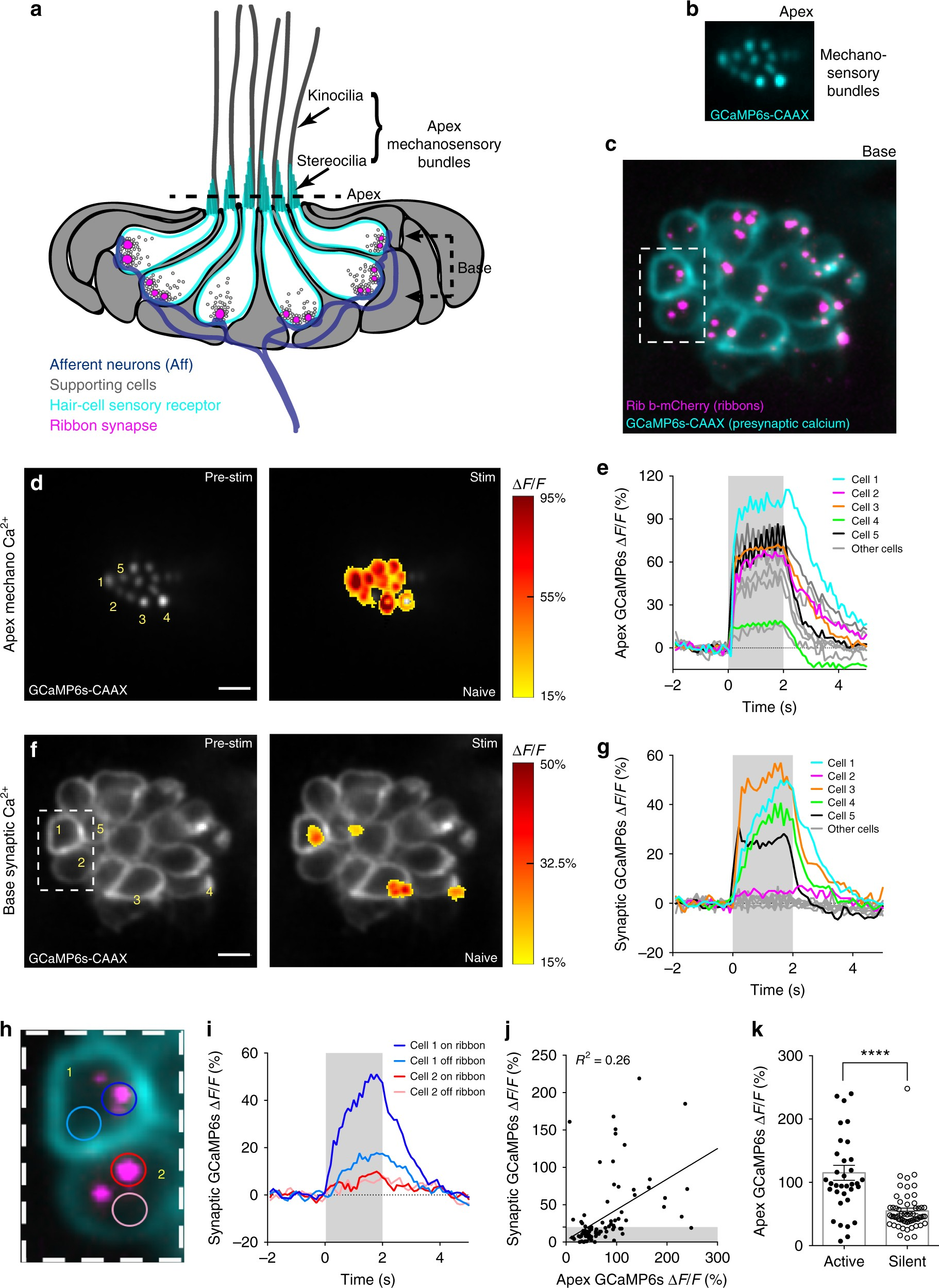 Synaptically Silent Sensory Hair Cells In Zebrafish Are Recruited 380v Single Line Wiring Diagram After Damage Nature Communications