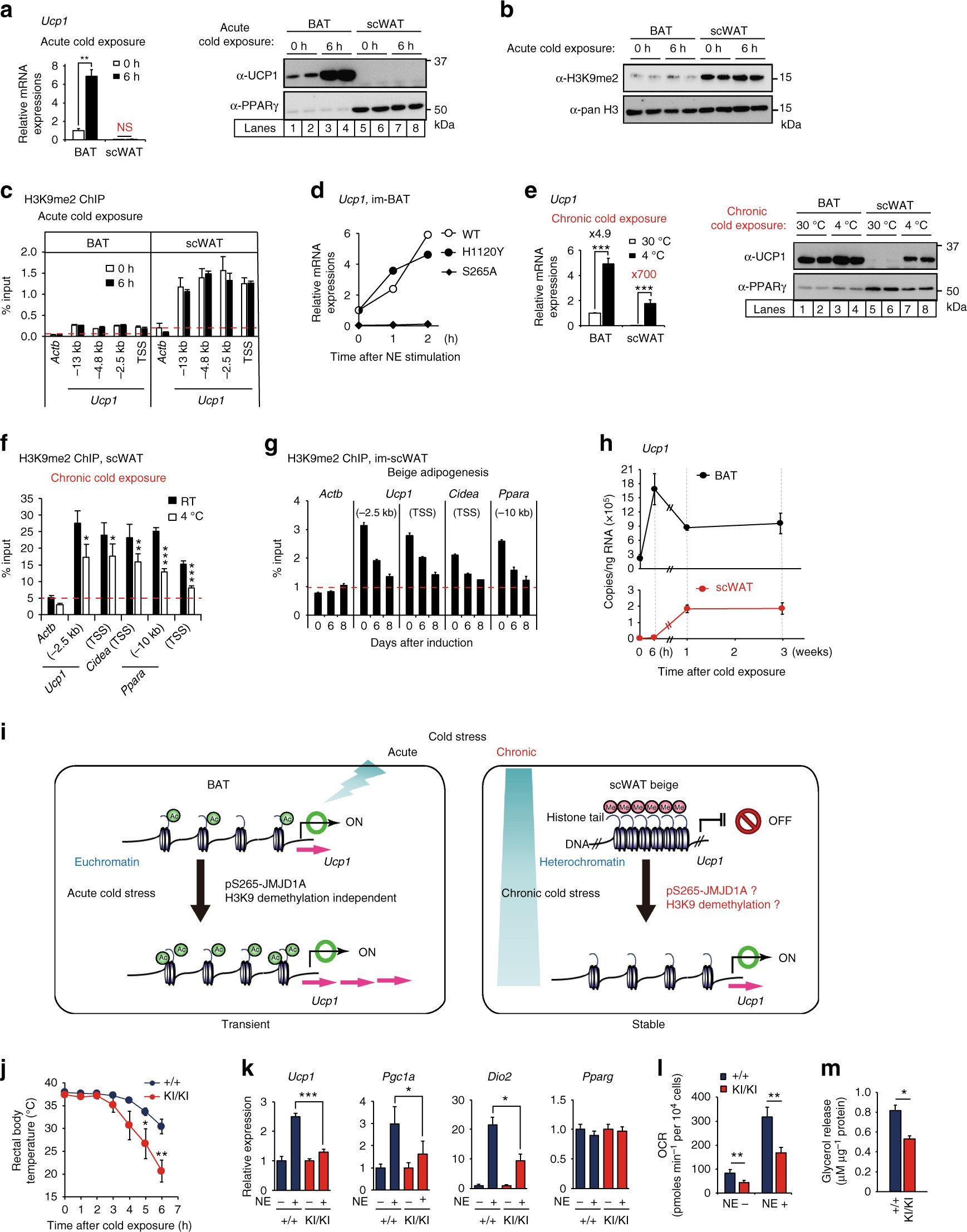Histone demethylase JMJD1A coordinates acute and chronic adaptation