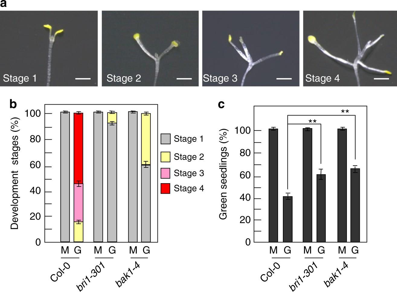 BRI1 And BAK1 Interact With G Proteins Regulate Sugar Responsive Growth Development In Arabidopsis
