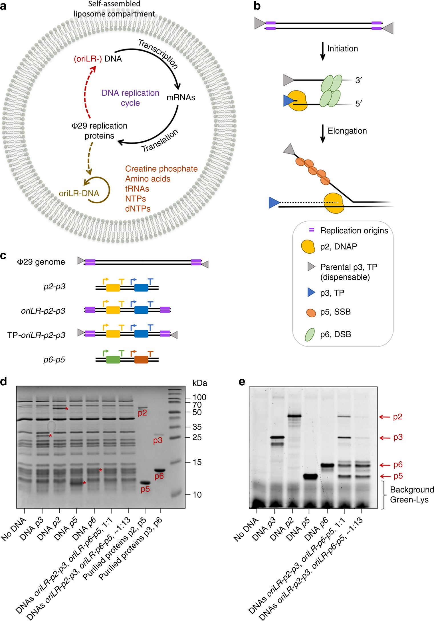 Self Replication Of DNA By Its Encoded Proteins In Liposome