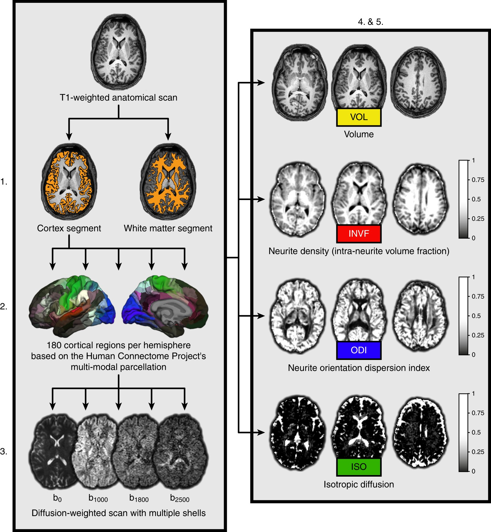 Gray Matter Density Increases During >> Diffusion Markers Of Dendritic Density And Arborization In Gray