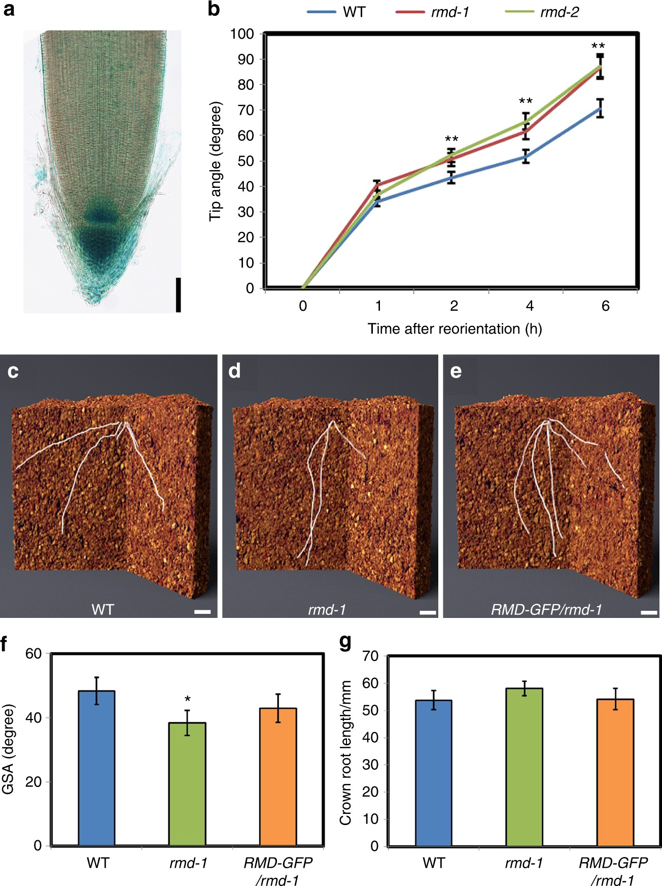 Rice actin binding protein RMD controls crown root angle in response
