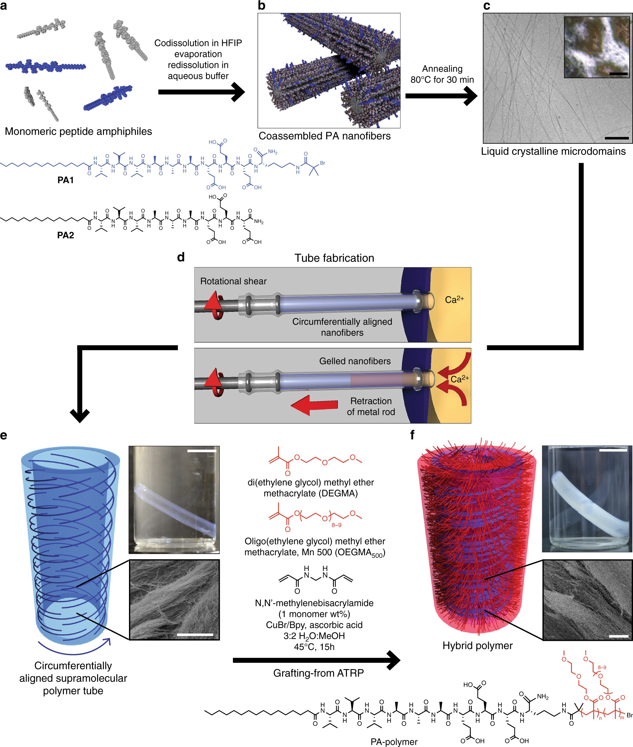 covalent-supramolecular hybrid polymers as muscle-inspired anisotropic  actuators | nature communications