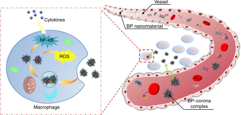 Revealing the immune perturbation of black phosphorus nanomaterials
