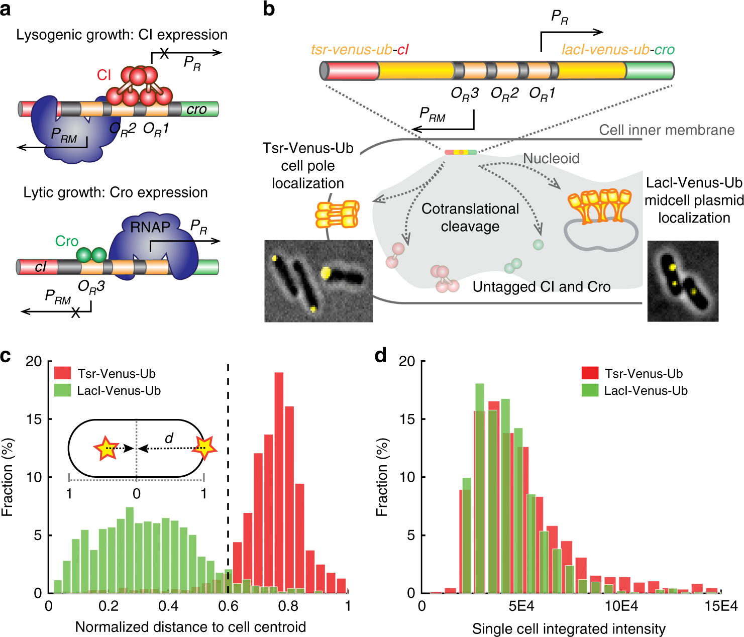 Cell Fate Potentials And Switching Kinetics Uncovered In A Classic Basic Controls Of Cro Bistable Genetic Switch Nature Communications