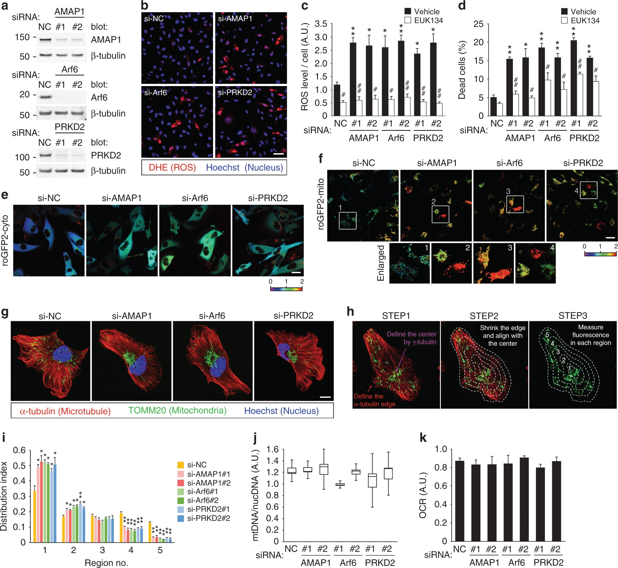 Impaired Recycling Of Mitochondria In >> Arf6 Driven Cell Invasion Is Intrinsically Linked To Trak1