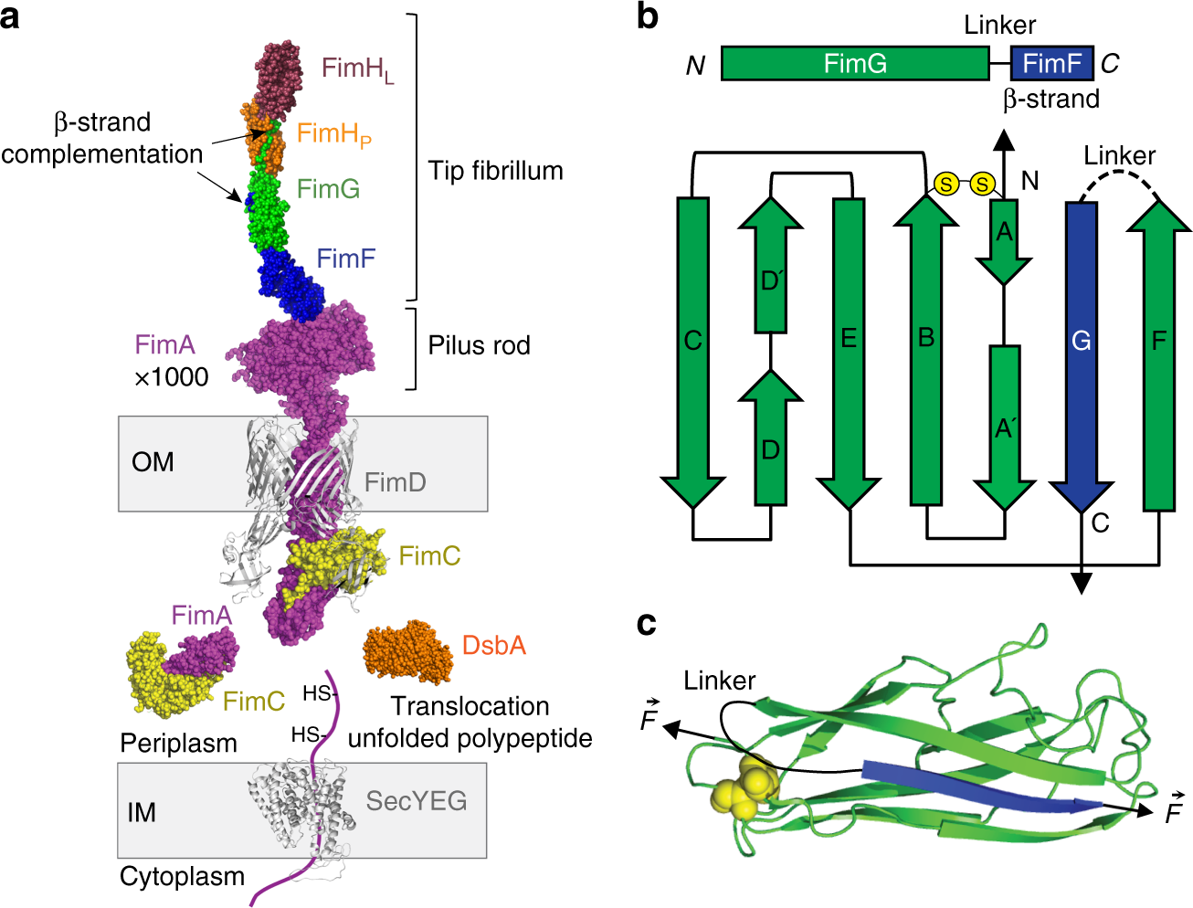 mechanical architecture and folding of e coli type 1 pilus Series and Parallel Circuits Diagrams