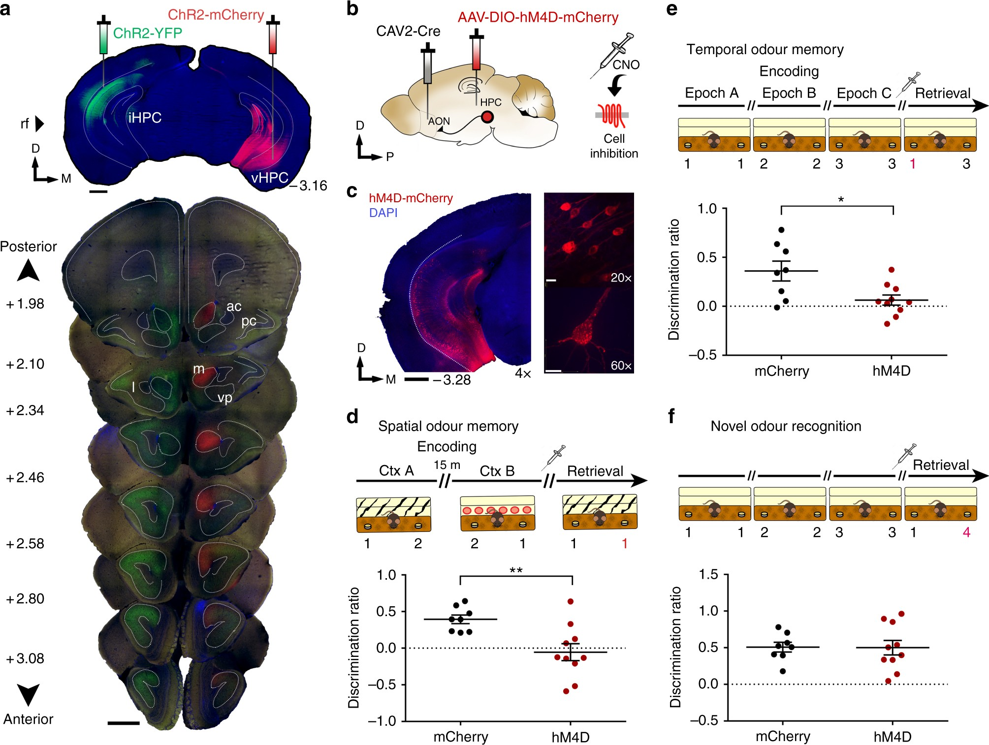 Hippocampal projections to the anterior olfactory nucleus ... on