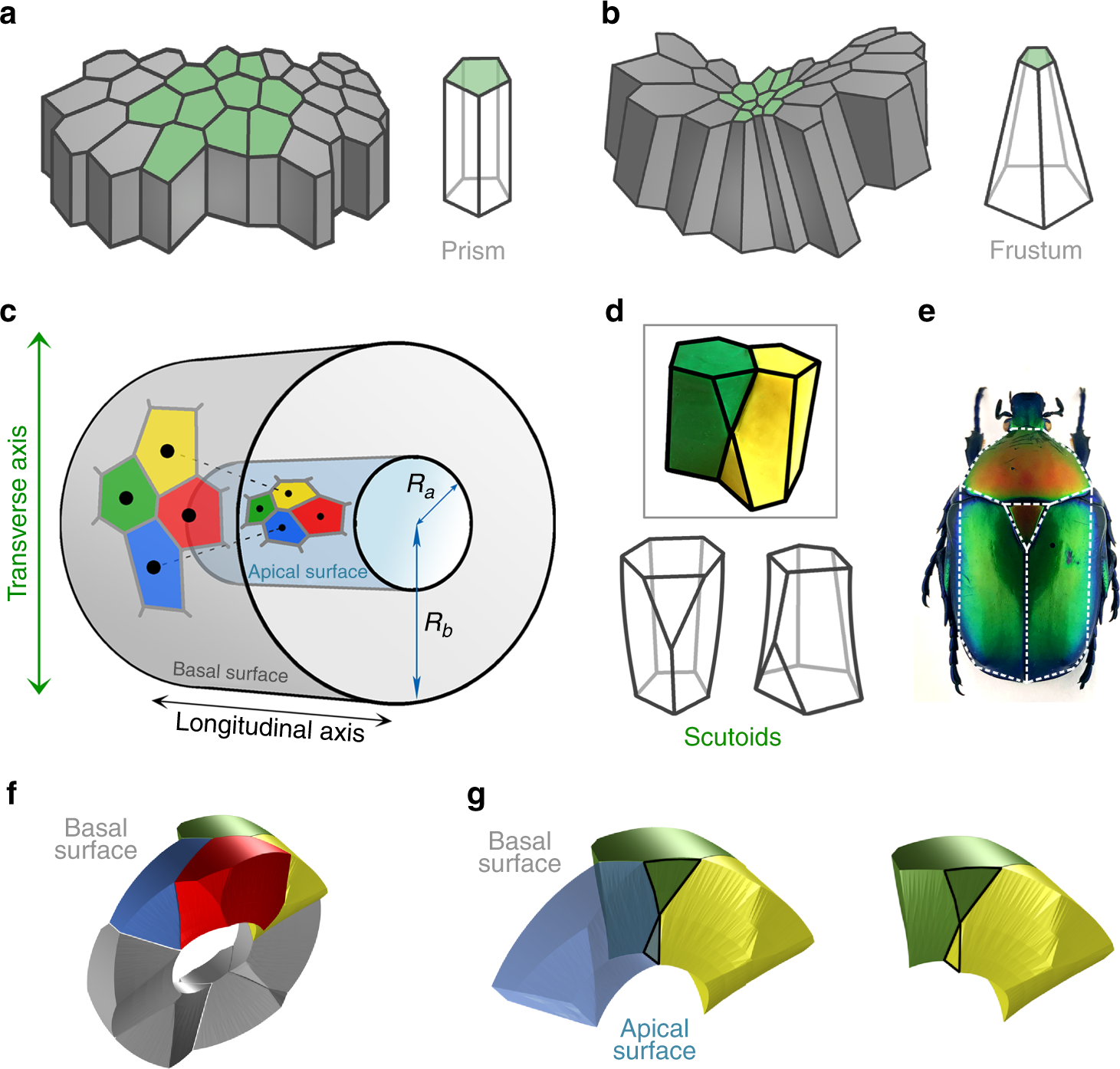 0edc864e1 Scutoids are a geometrical solution to three-dimensional packing of  epithelia
