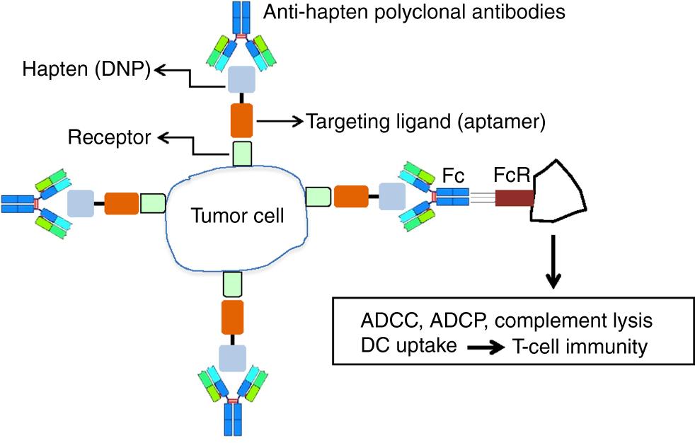 Hapten-mediated recruitment of polyclonal antibodies to