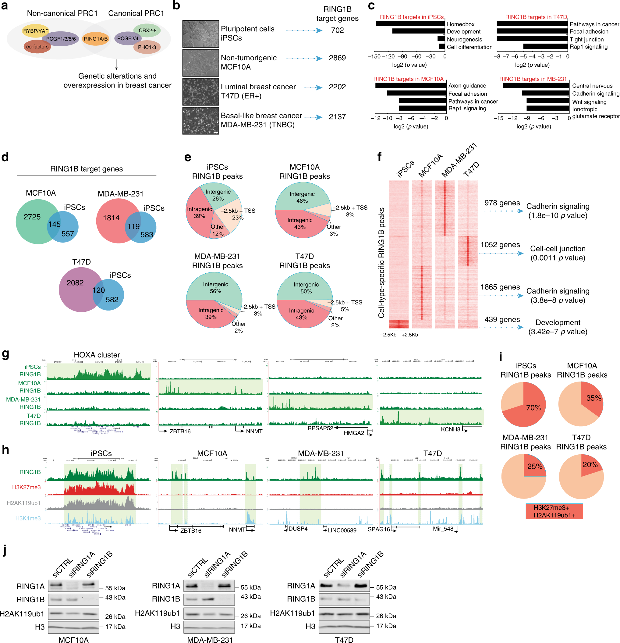 Polycomb complexes associate with enhancers and promote