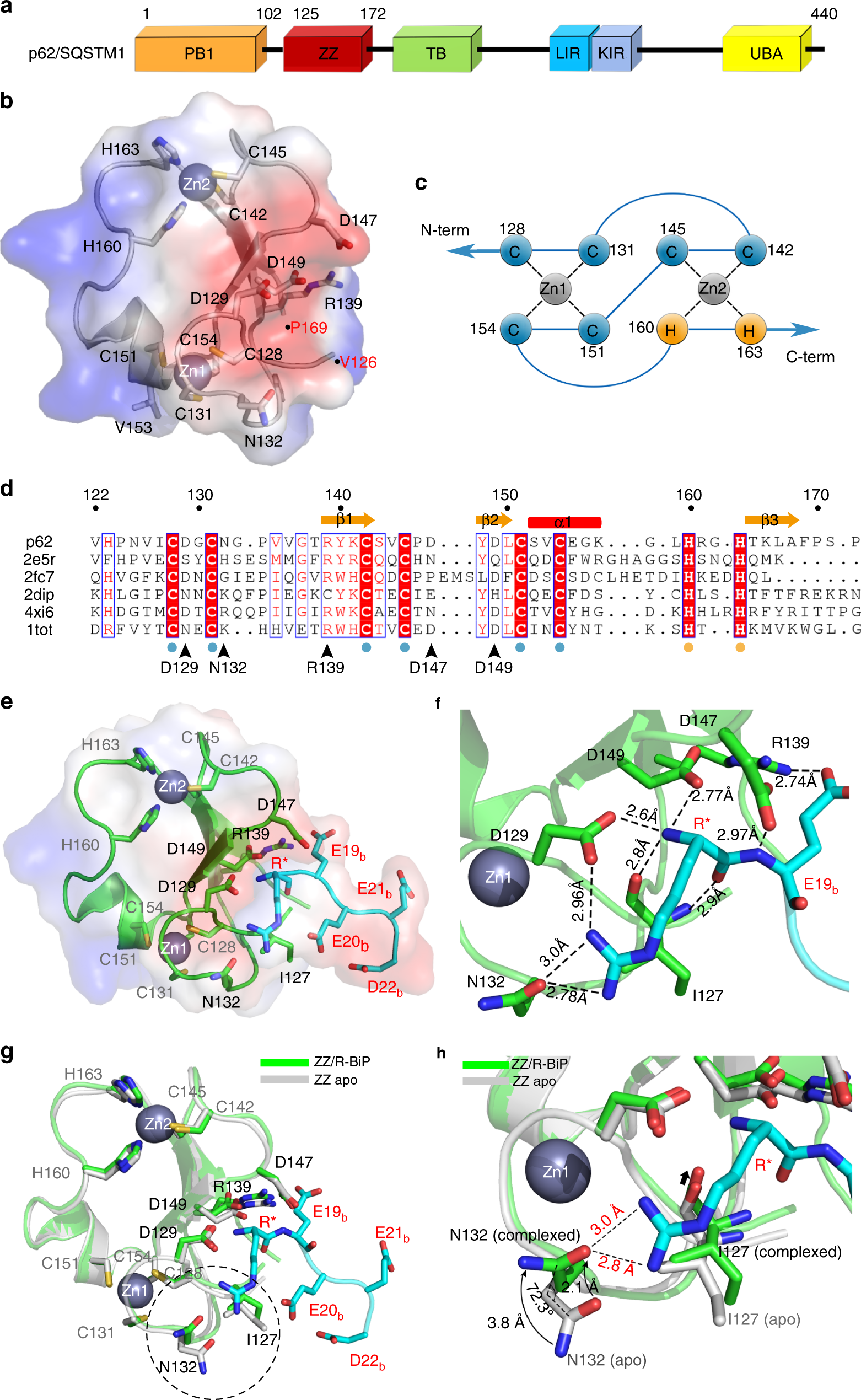 Insights Into Degradation Mechanism Of N End Rule Substrates By P62 Sqstm1 Autophagy Adapter Nature Communications