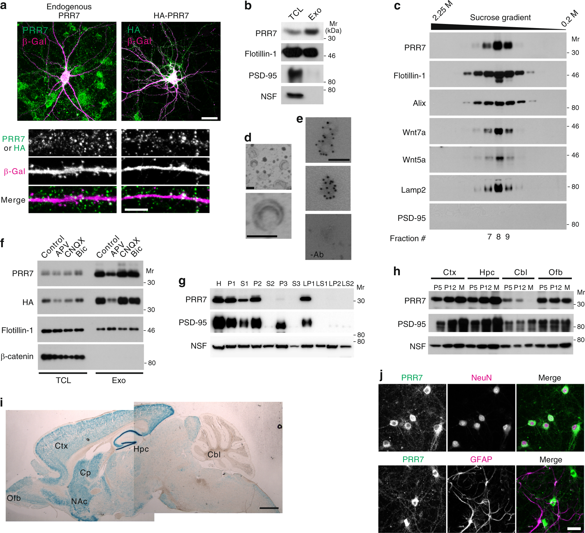 Reciprocal Control Of Excitatory Synapse Numbers By Wnt And Wnt Inhibitor Prr Secreted On Exosomes Nature Communications
