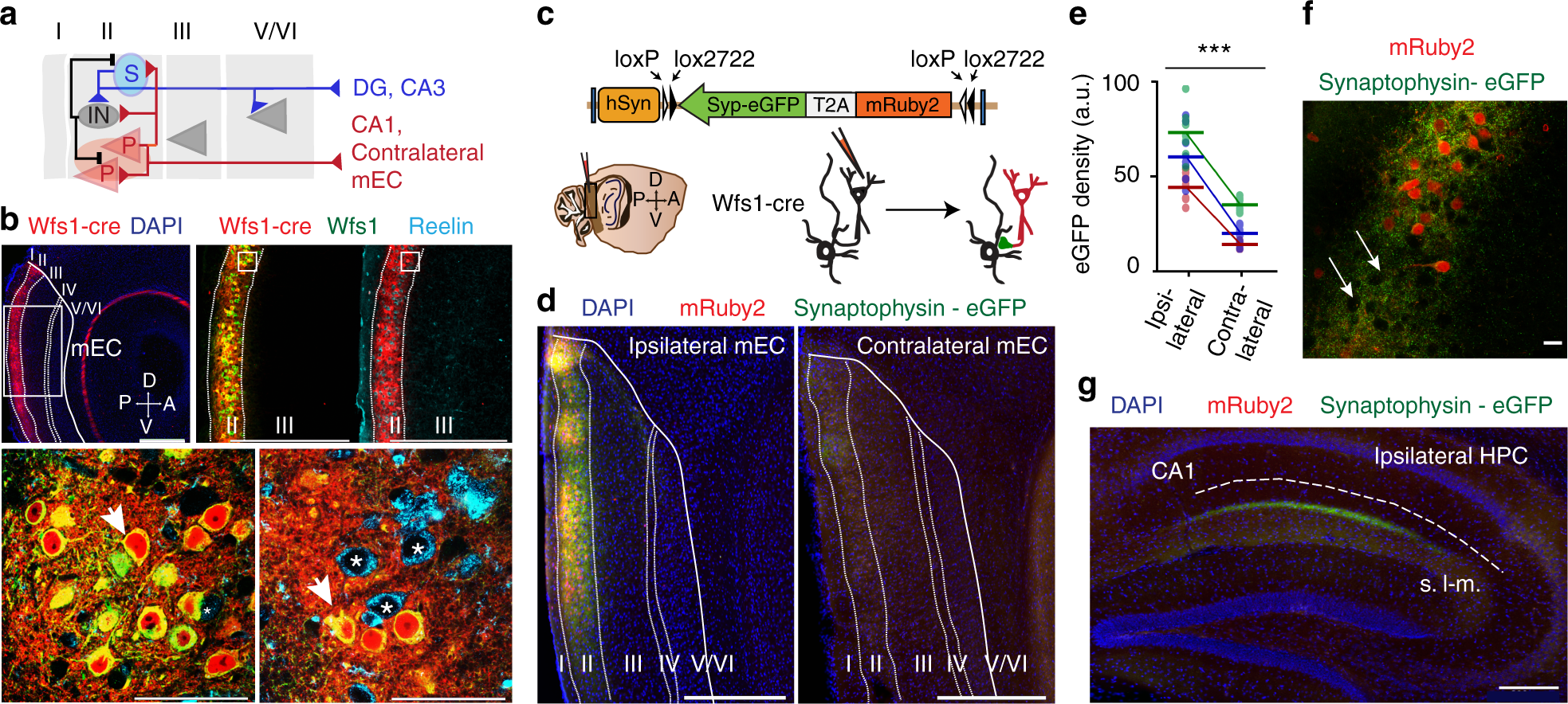 Recurrent Circuits Within Medial Entorhinal Cortex Superficial
