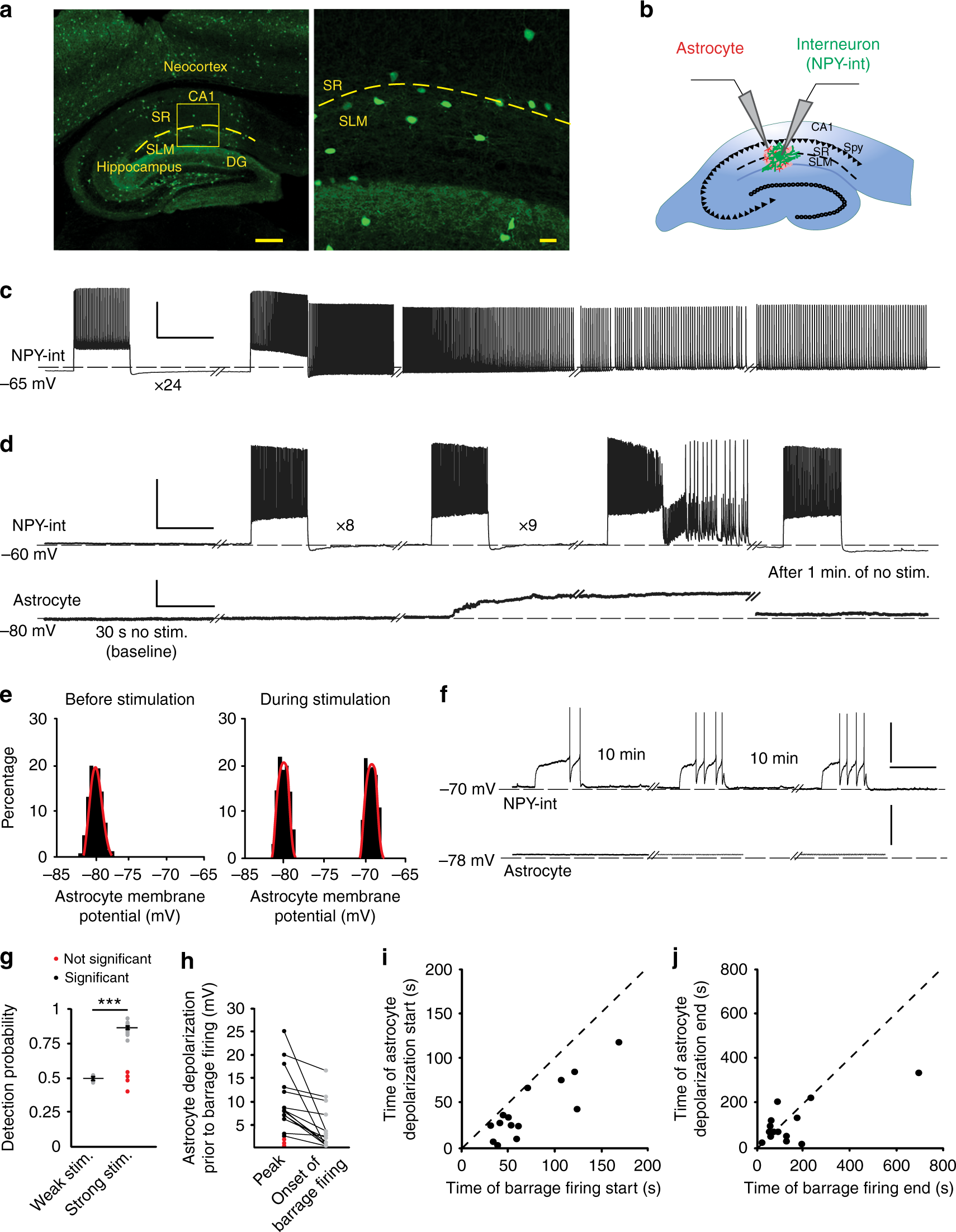 Astrocytes integrate and drive action potential firing in