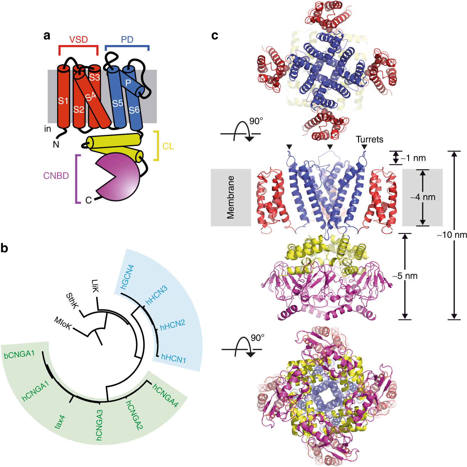 An Iris Diaphragm Mechanism To Gate A Cyclic Nucleotide Gated Ion Channel Nature Communications