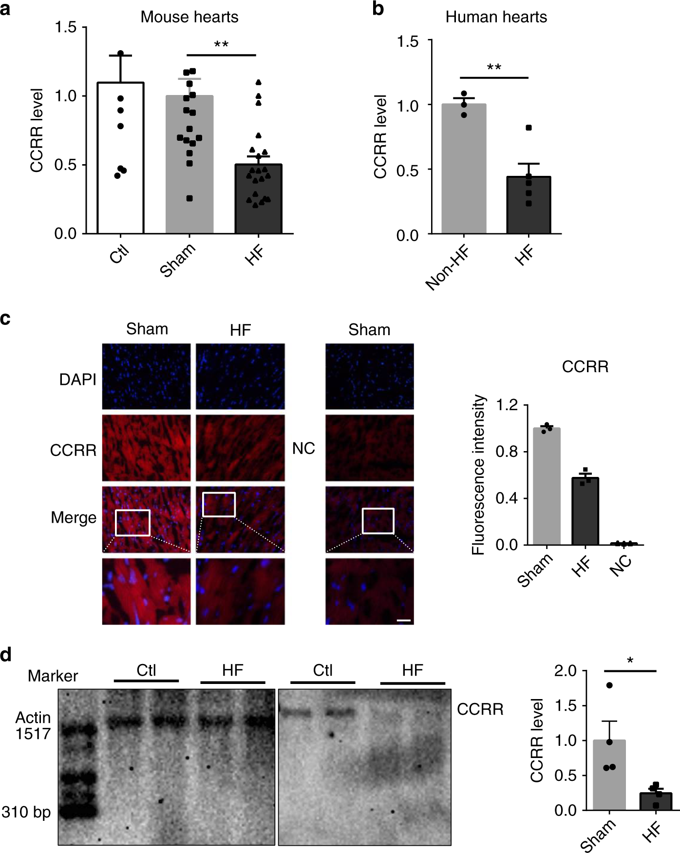 Long non-coding RNA CCRR controls cardiac conduction via