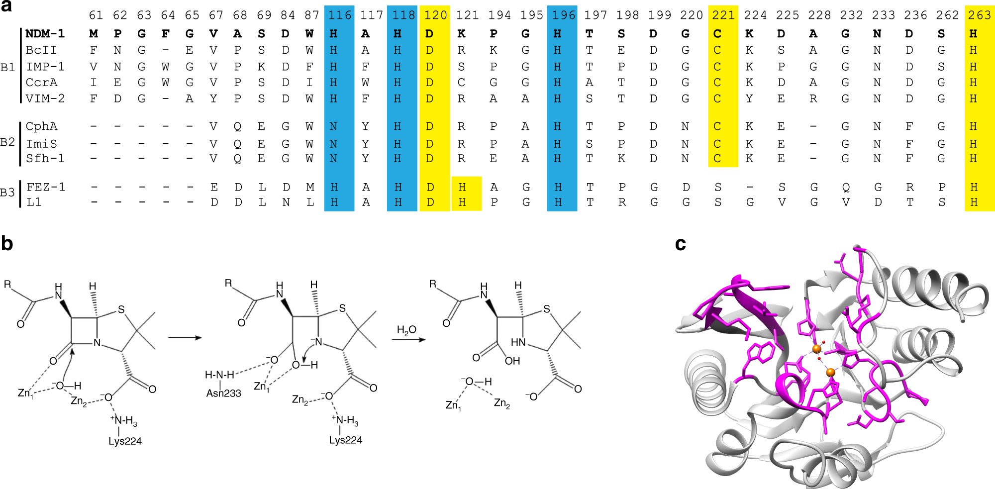 Differential active site requirements for NDM-1 β-lactamase