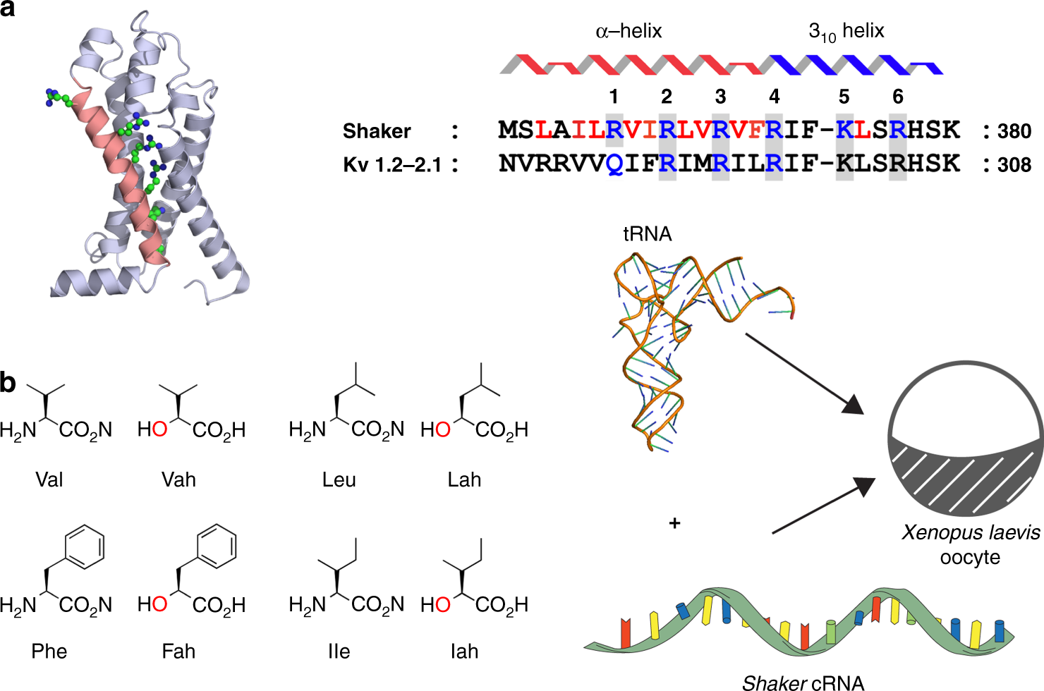 Main-chain mutagenesis reveals intrahelical coupling in an ion