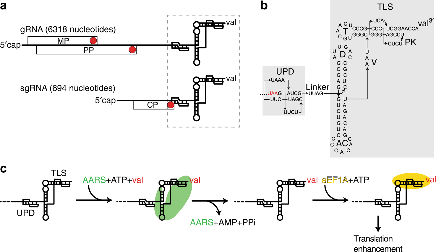 Ribosome-induced RNA conformational changes in a viral 3